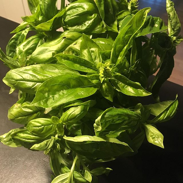 So long sweet #basil frost warnings tonight 😬 Hello fresh #pesto and #tomatosauce The best tip we learned this summer is how to store freshly cut basil...put stems in a vessel with water, cover them with a plastic bag (hard to come by these days🙏🏻 however a great way to use and reuse that very last one you have😉)leave it on your countertop out of direct sunlight and  Voila! It lasts for days and days simply pick off leaves as needed. If it lasts that long!