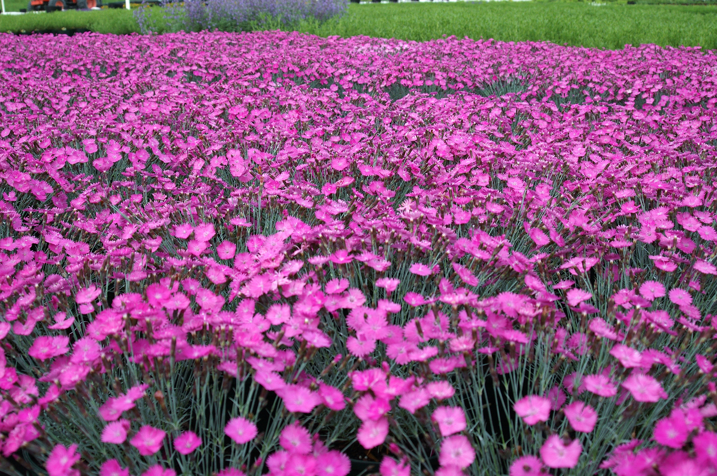 Dianthus_Firewitch_Group1.jpg