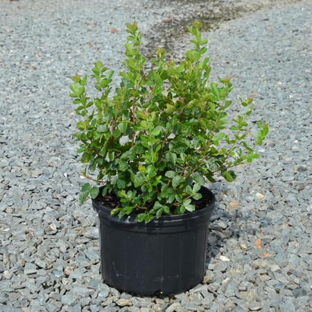 Rhus_GroLow_container.jpg