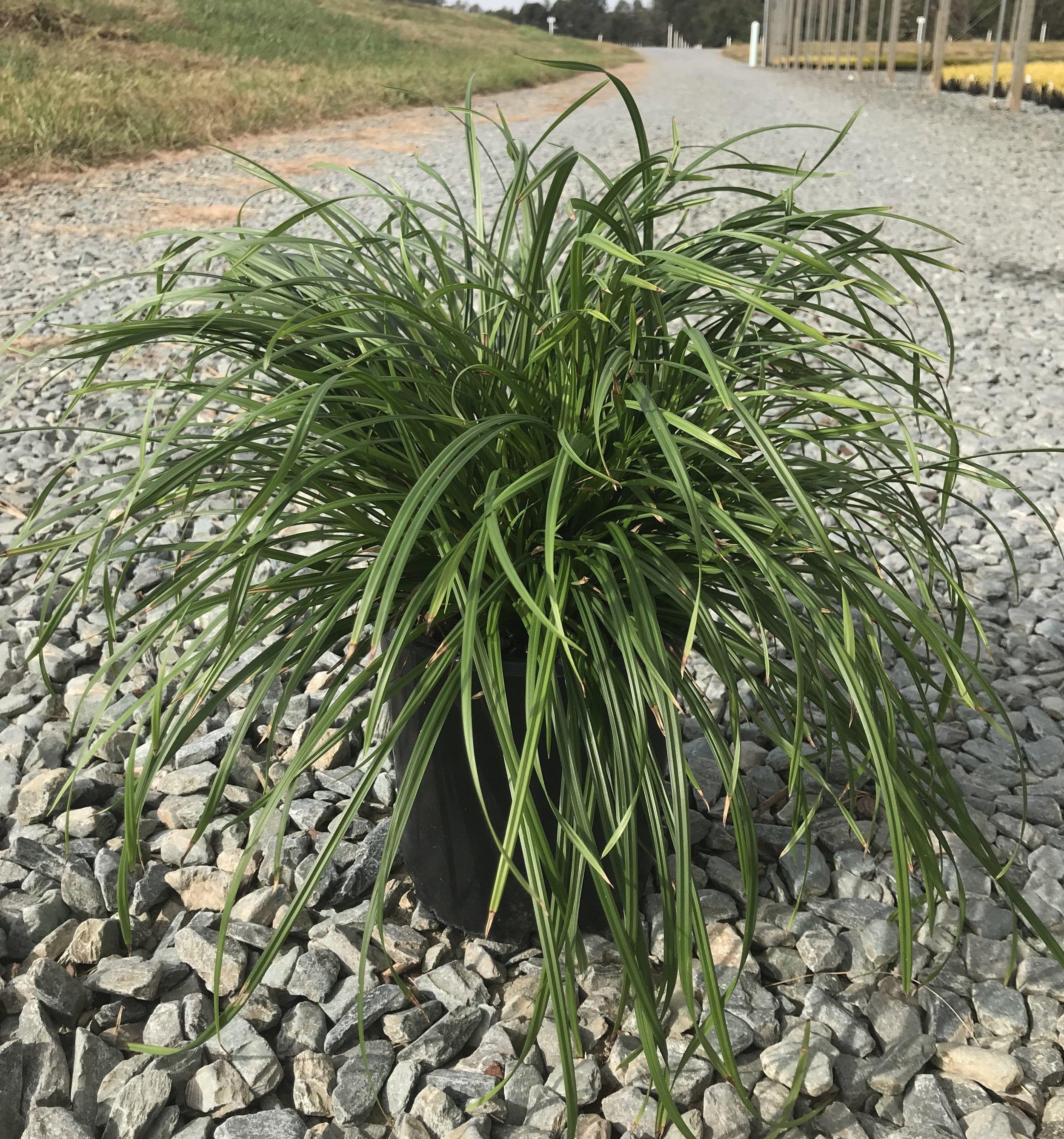 Carex amphibola, Creek Sedge 1g