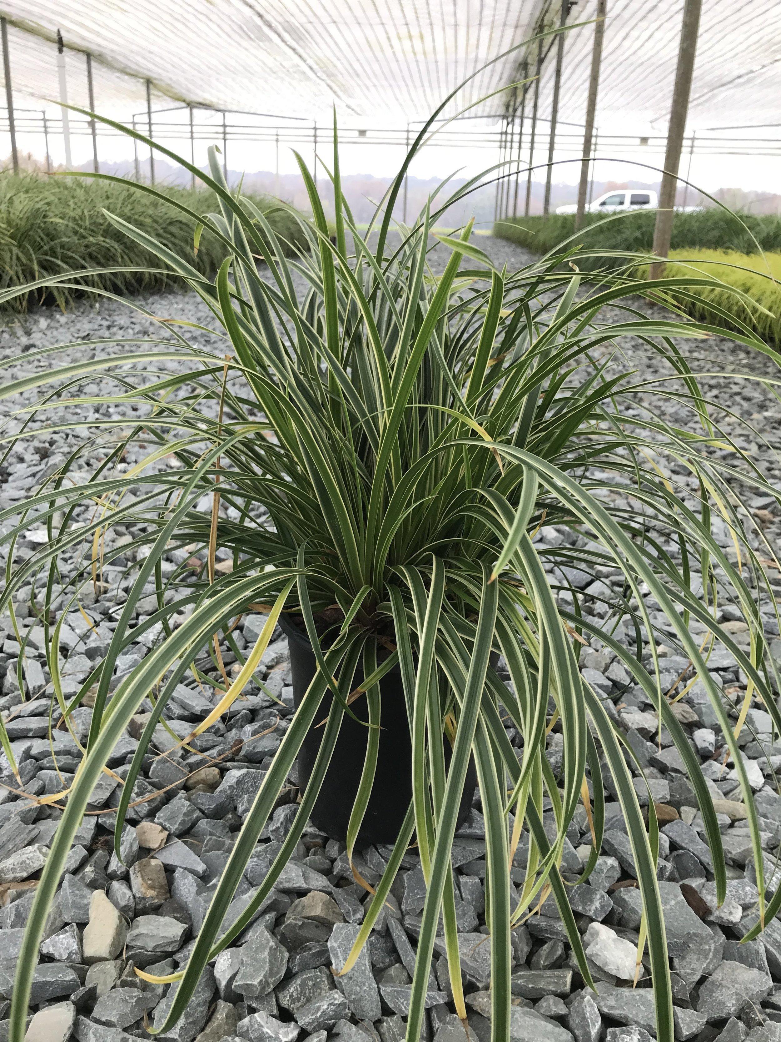 Carex morrowii 'Ice Dance' 1g