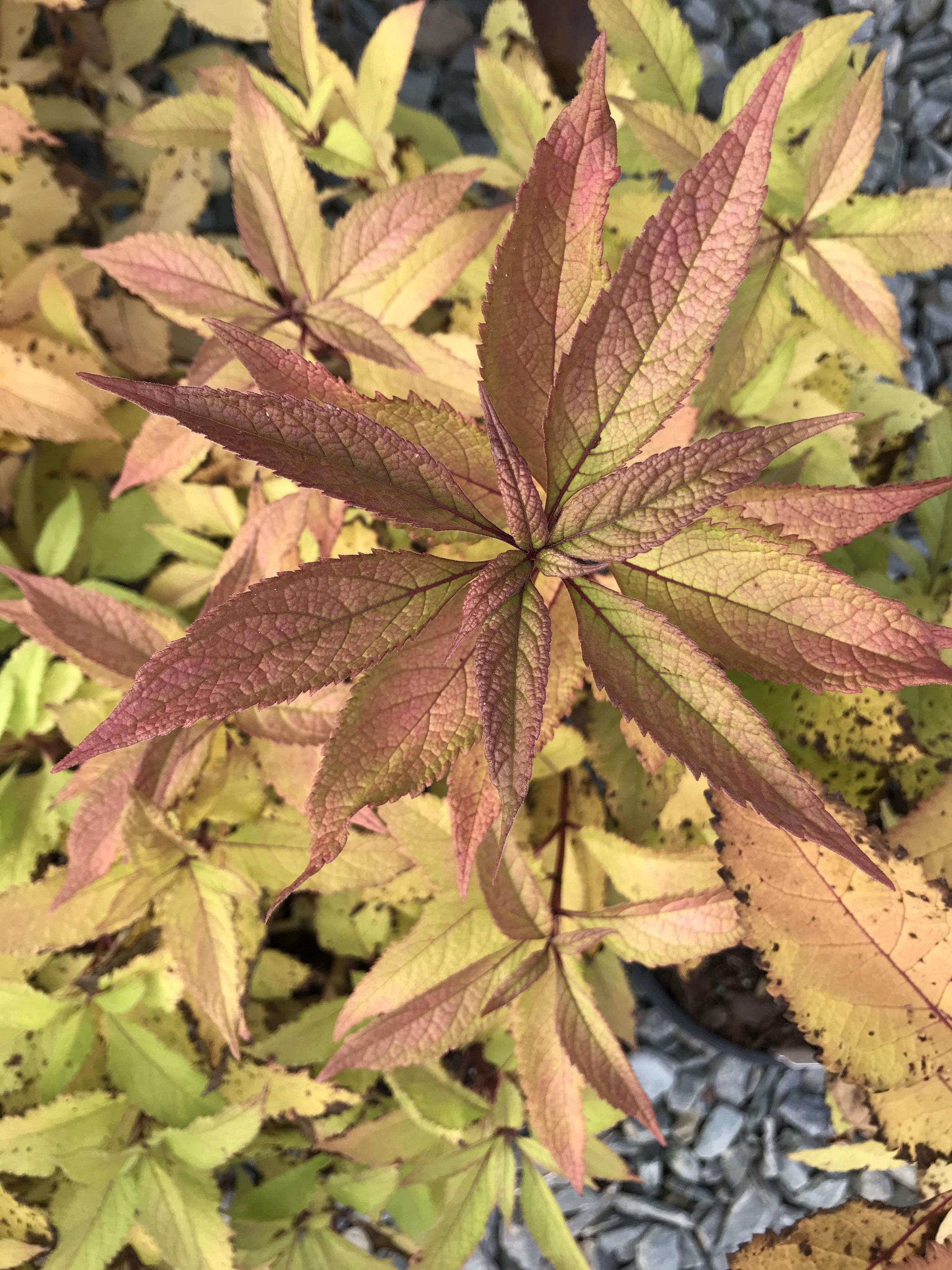 Eupatorium purpureum ssp. maculatum 'Gateway' 1g