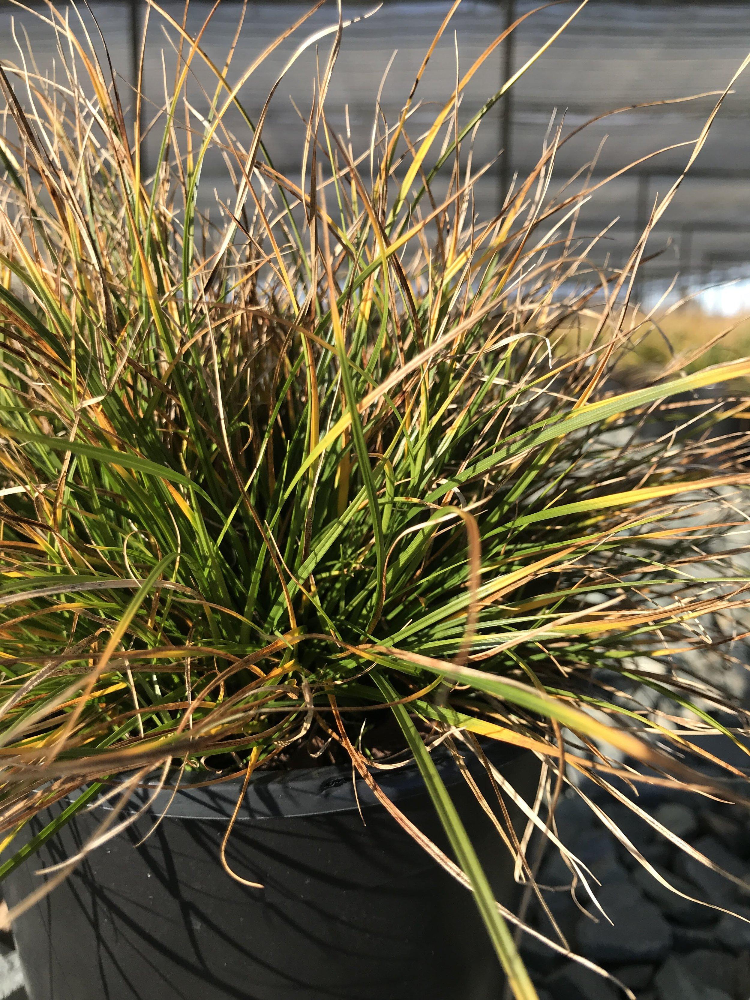 Carex pensylvanica, Pennsylvania Sedge 1g