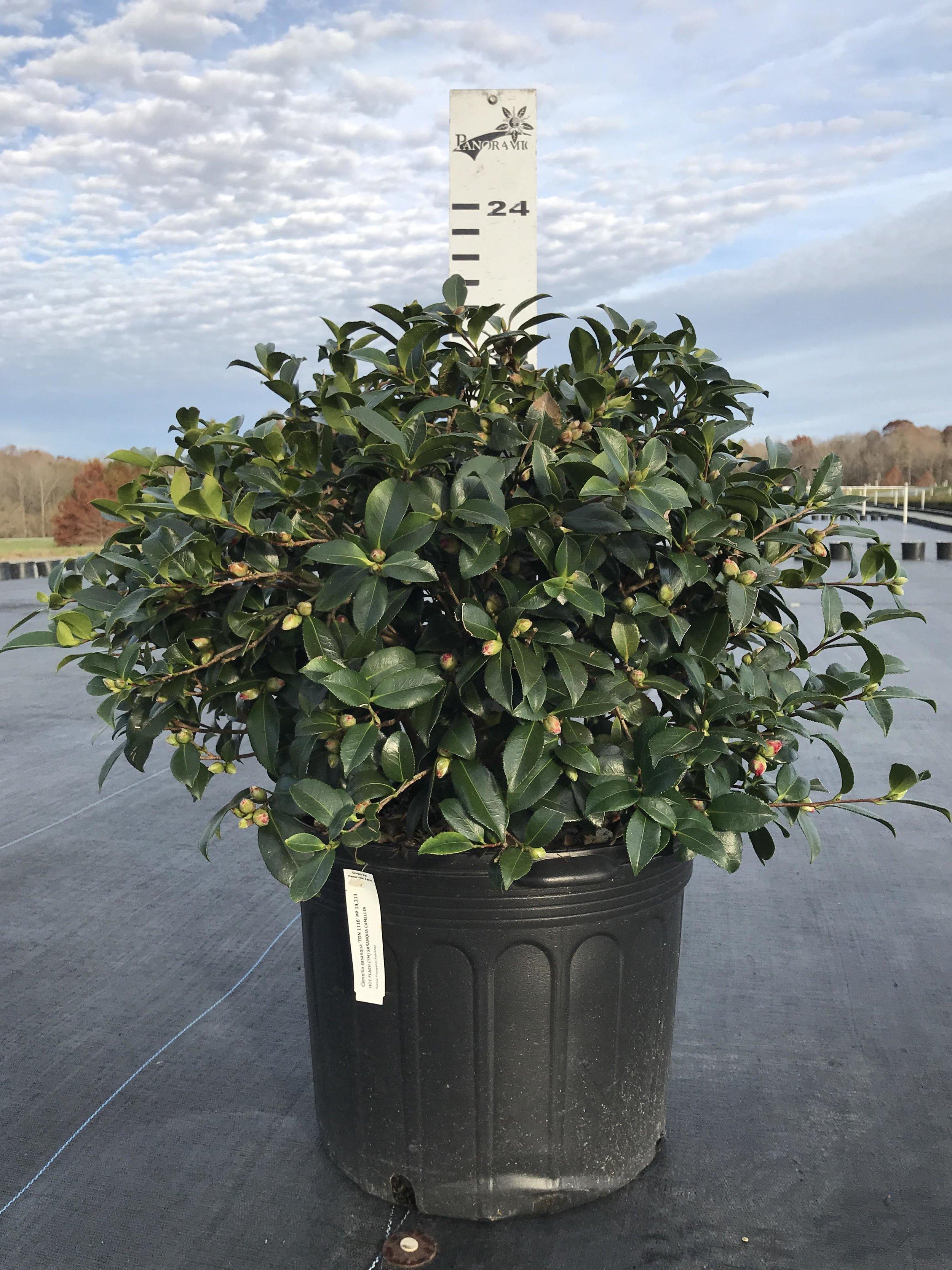 Camellia sasanqua 'Hot Flash' 7g