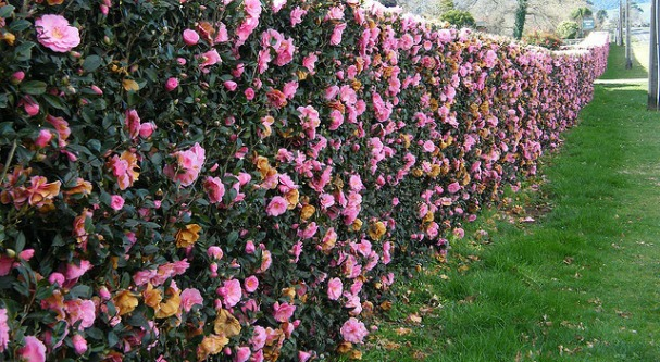 Example of Camellia sasquana used for a beautiful blooming hedge!  (Image source: gardenhedge.com.au)
