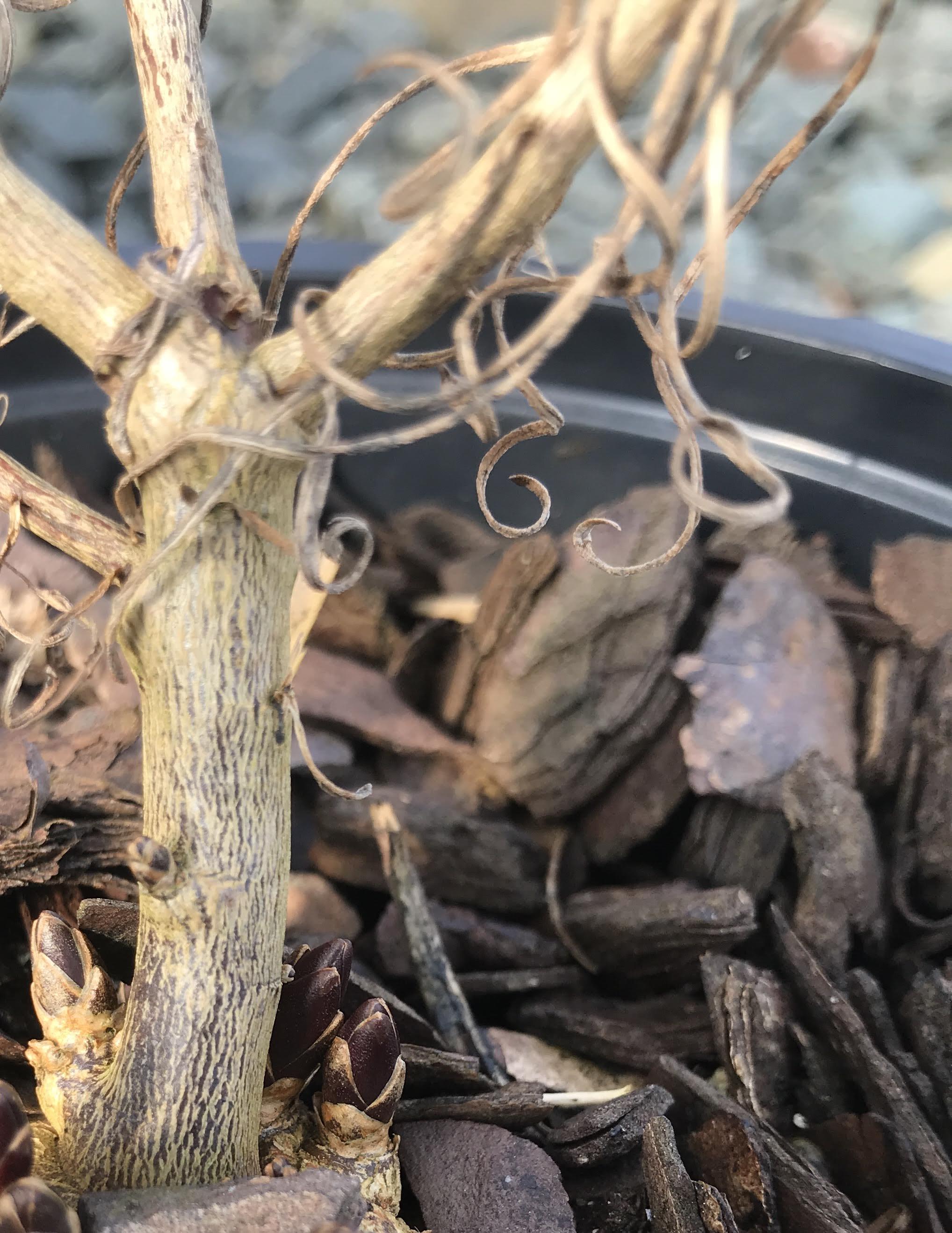 Amsonia hubrichtii, Thread-Leaf Bluestar 1g