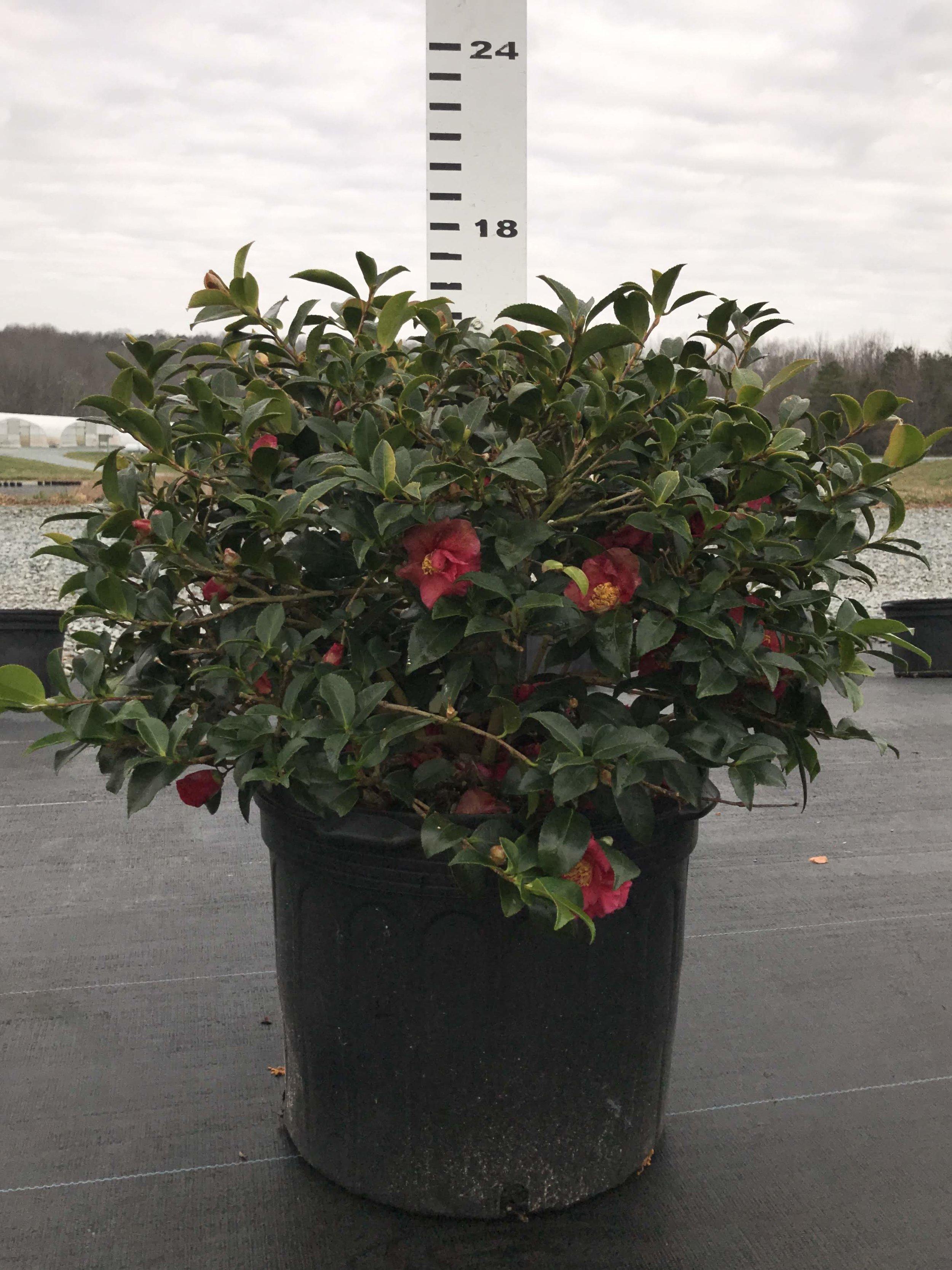 Camellia sasanqua 'Hot Flash' 7g overstock