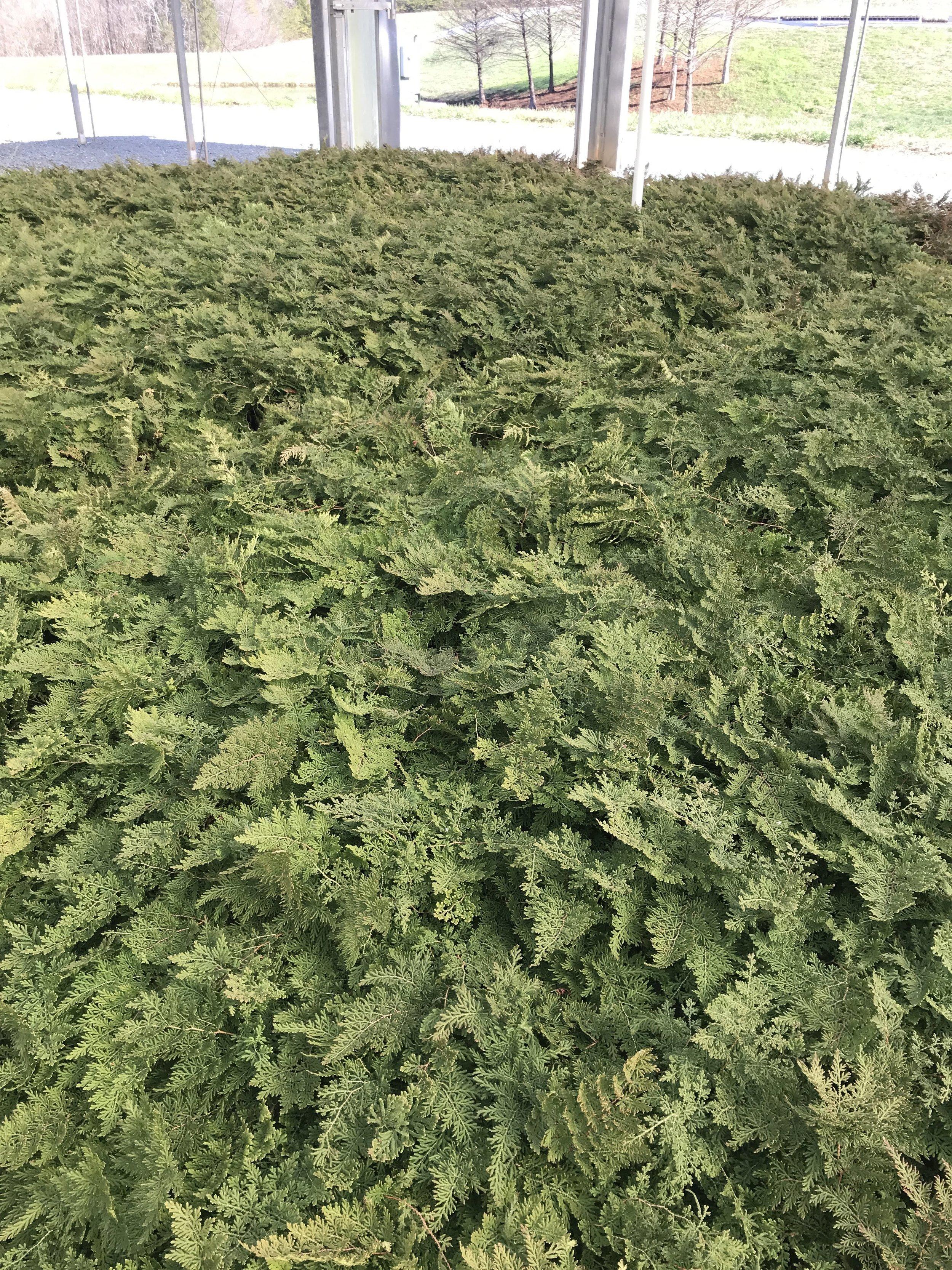 Selaginella braunii, Braun's Arborvitae Fern 1g