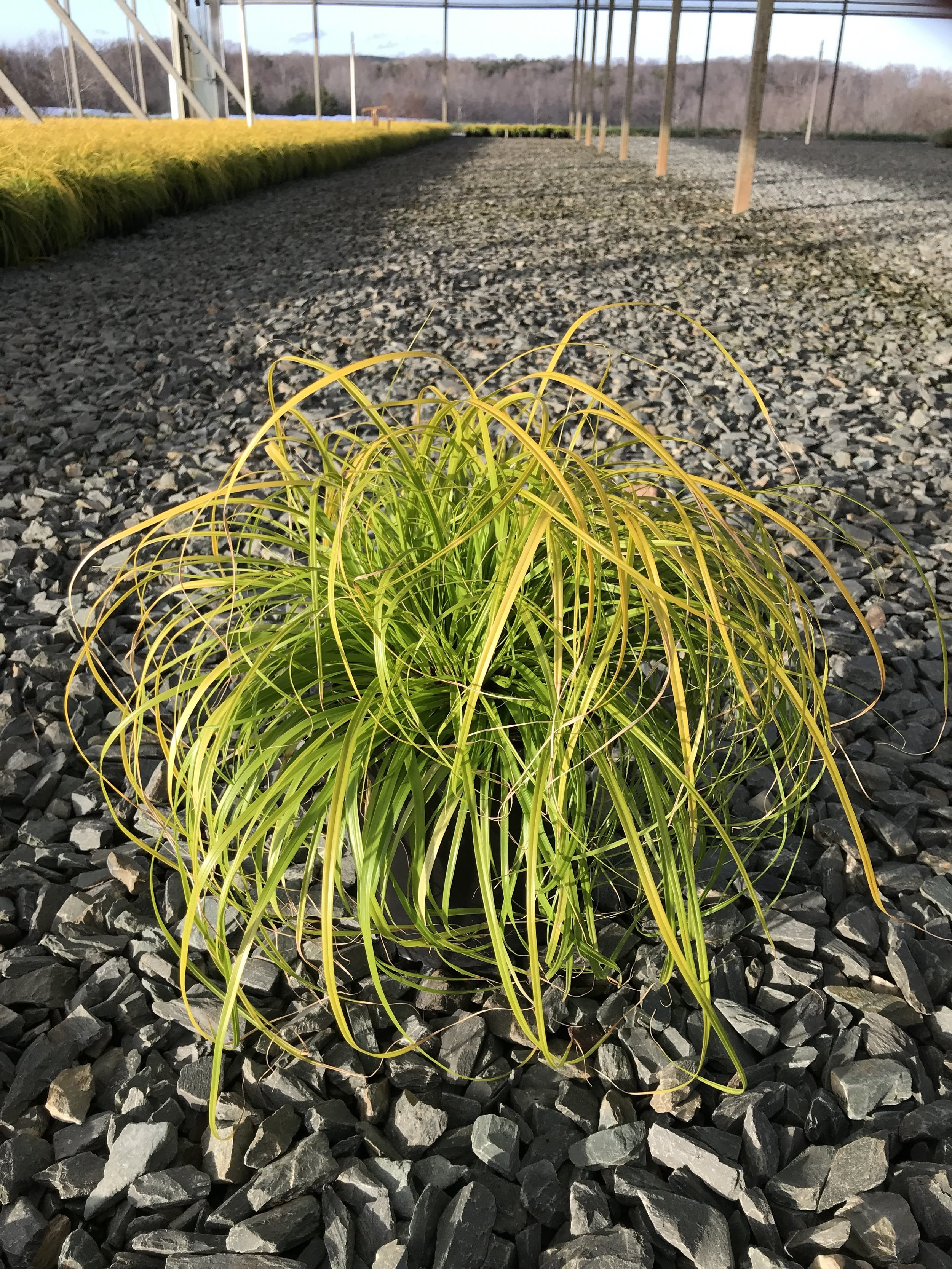 Carex oshimensis 'Everillo' 1g