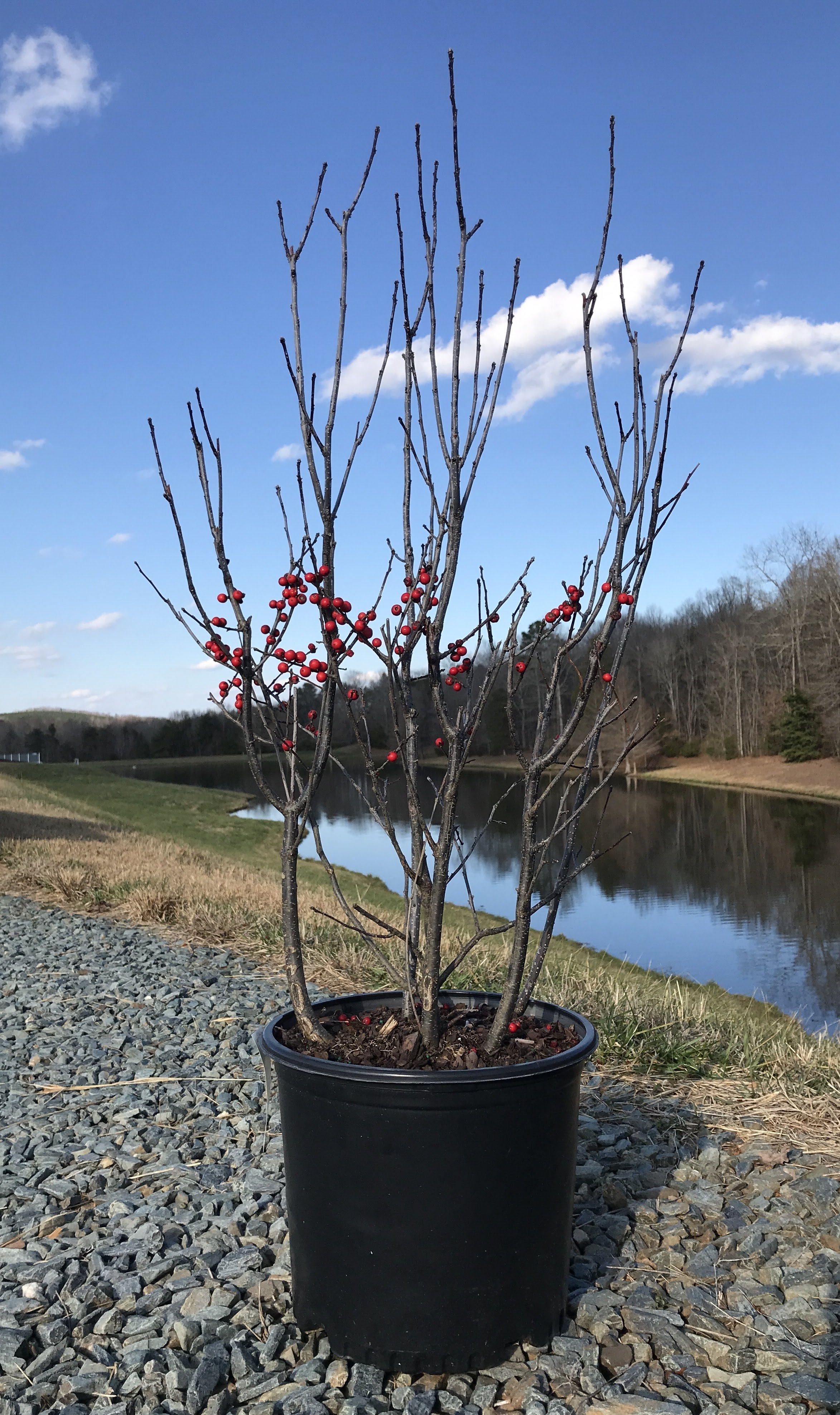 Ilex verticillata 'Winter Red' 3g