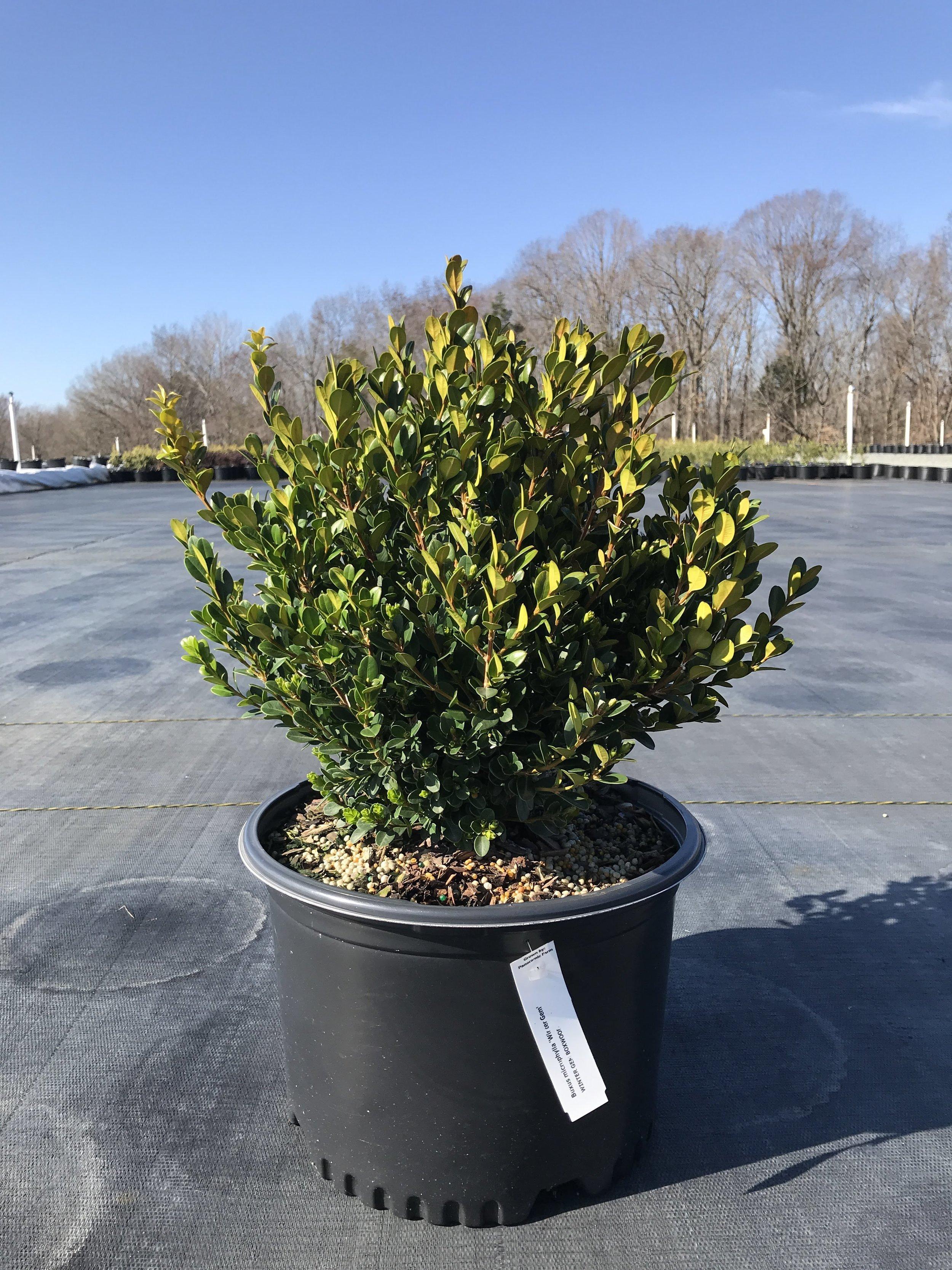 Buxus microphylla 'Winter Gem' 3 gallon