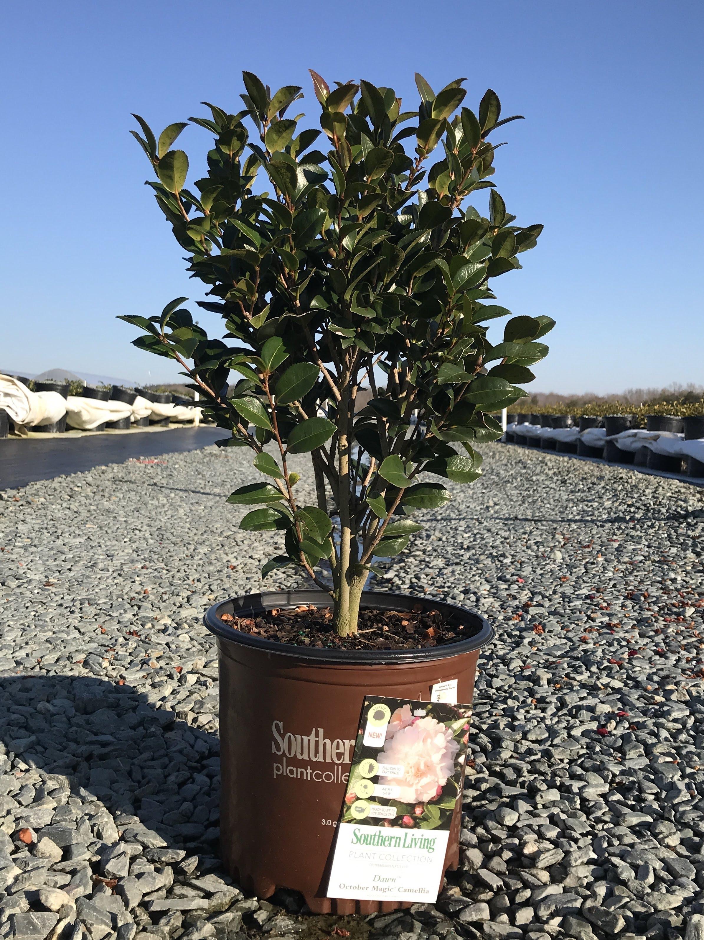 Camellia sasanqua, October Magic Dawn 3 gallon