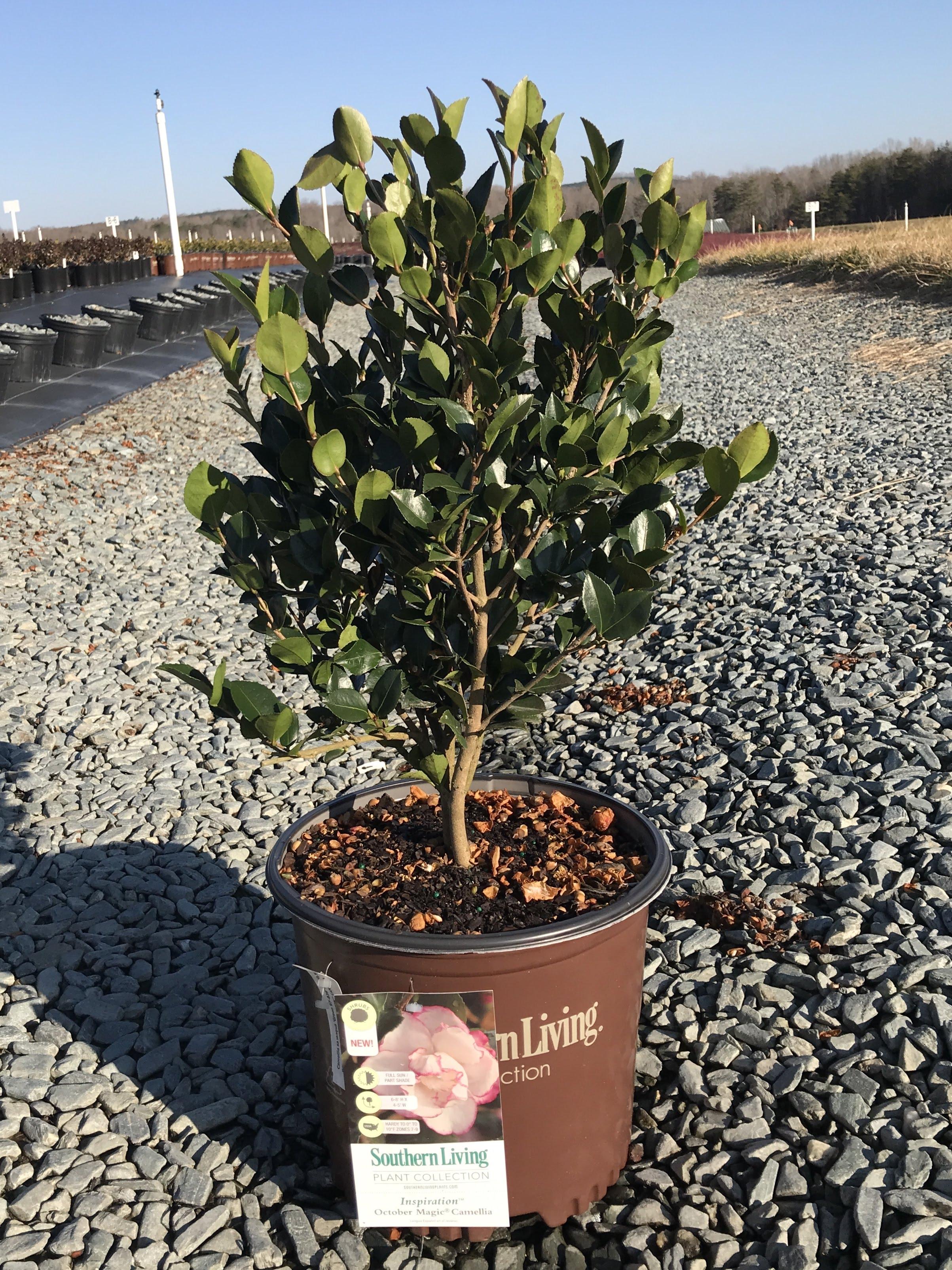 Camellia sasanqua, October Magic Inspiration 3 gallon