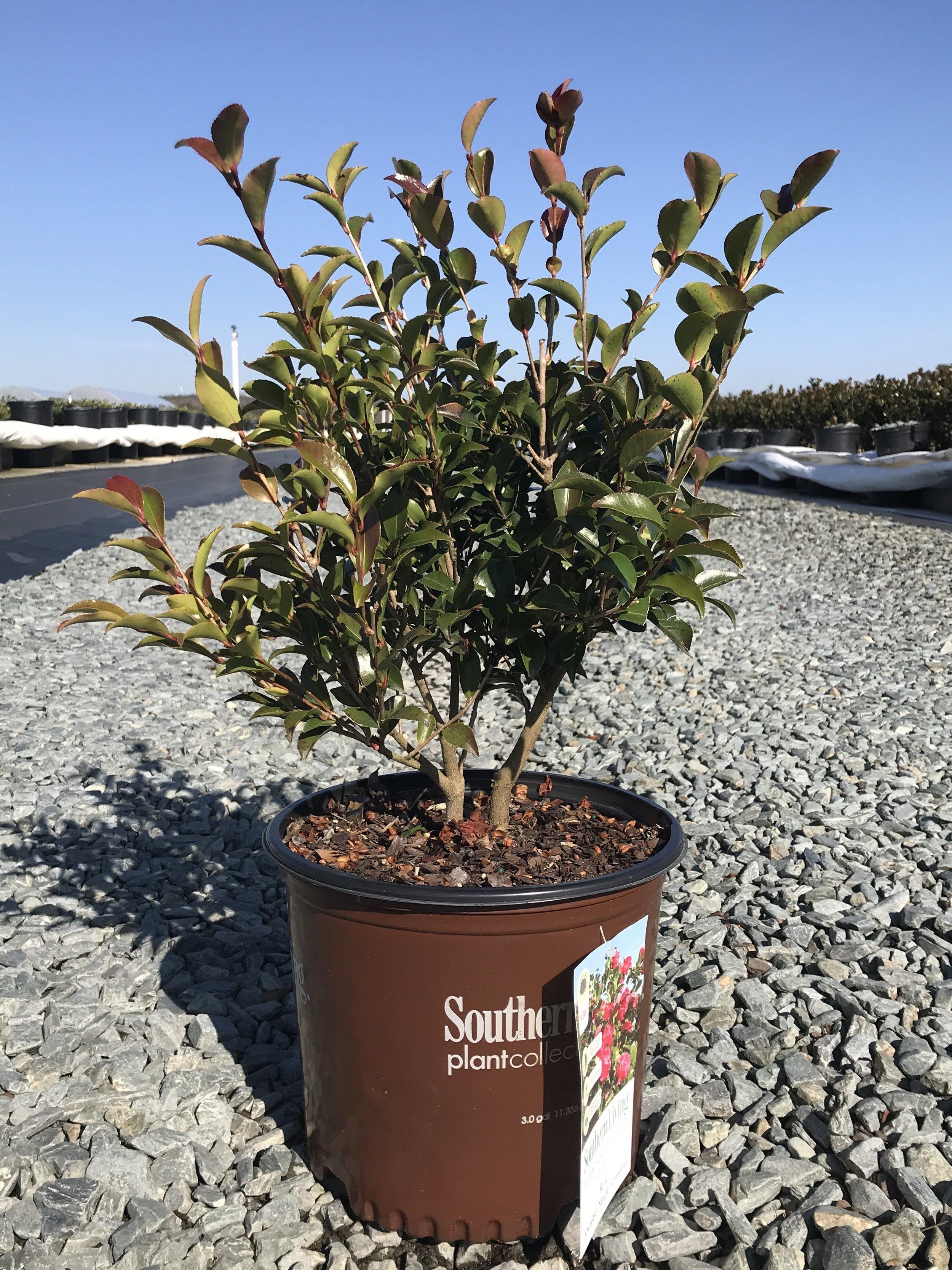 Camellia sasanqua, October Magic Rose 3 gallon