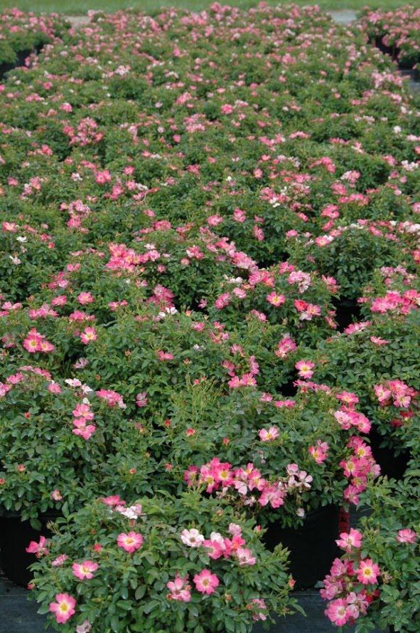 Rosa x 'Pink Drift' PP# 18,874 3g