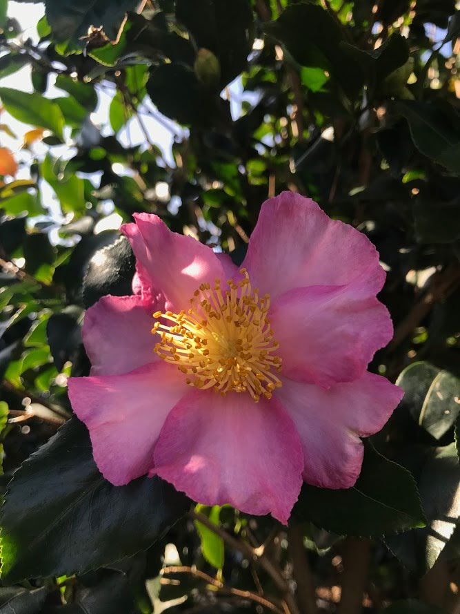 Camellia sasanqua 'Cleopatra' 3g