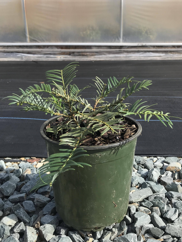 Cephalotaxus harringtonia 'Prostrata' 1g