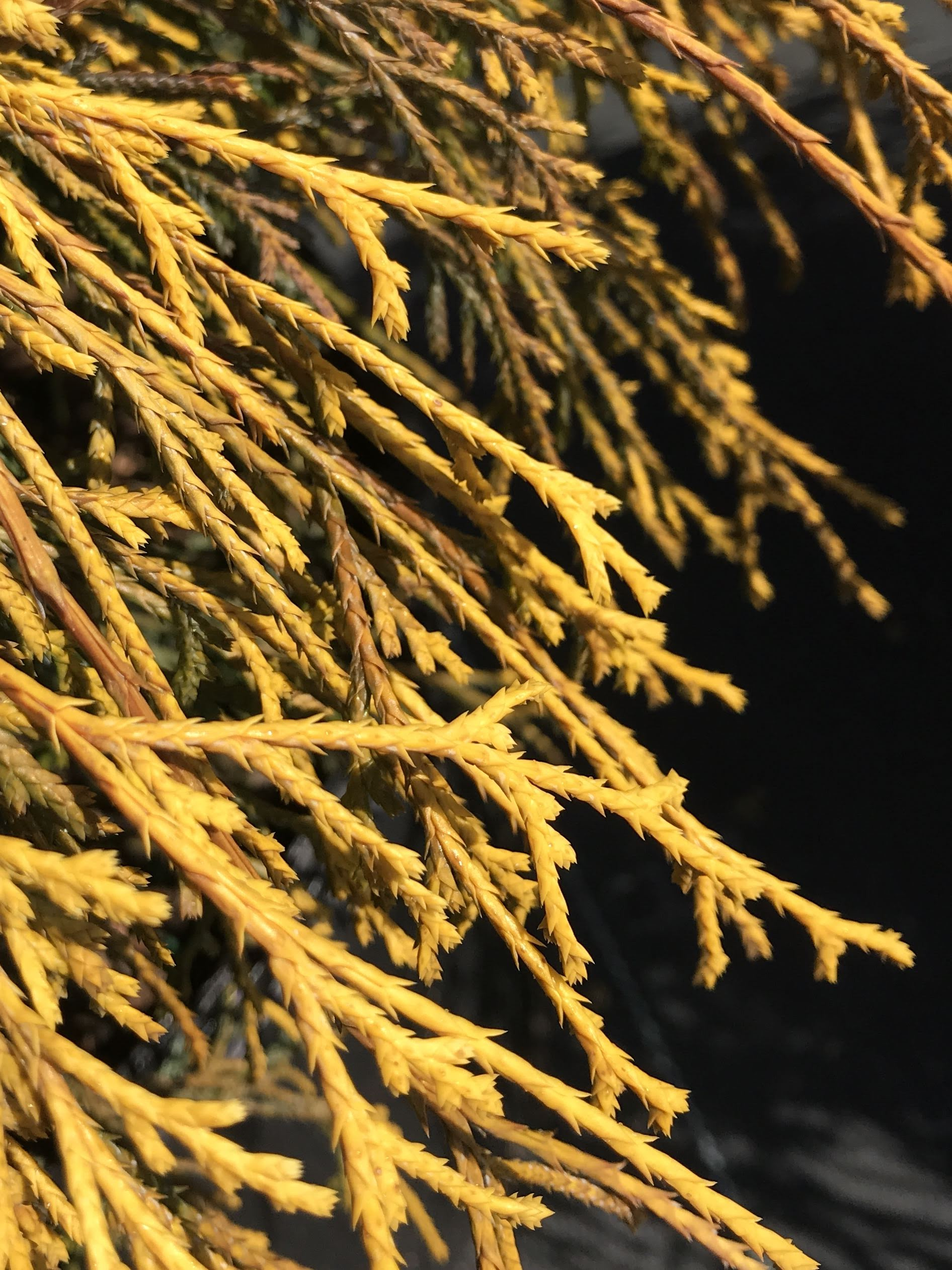 Chamaecyparis pisifera 'Gold Mop' 3 gallon