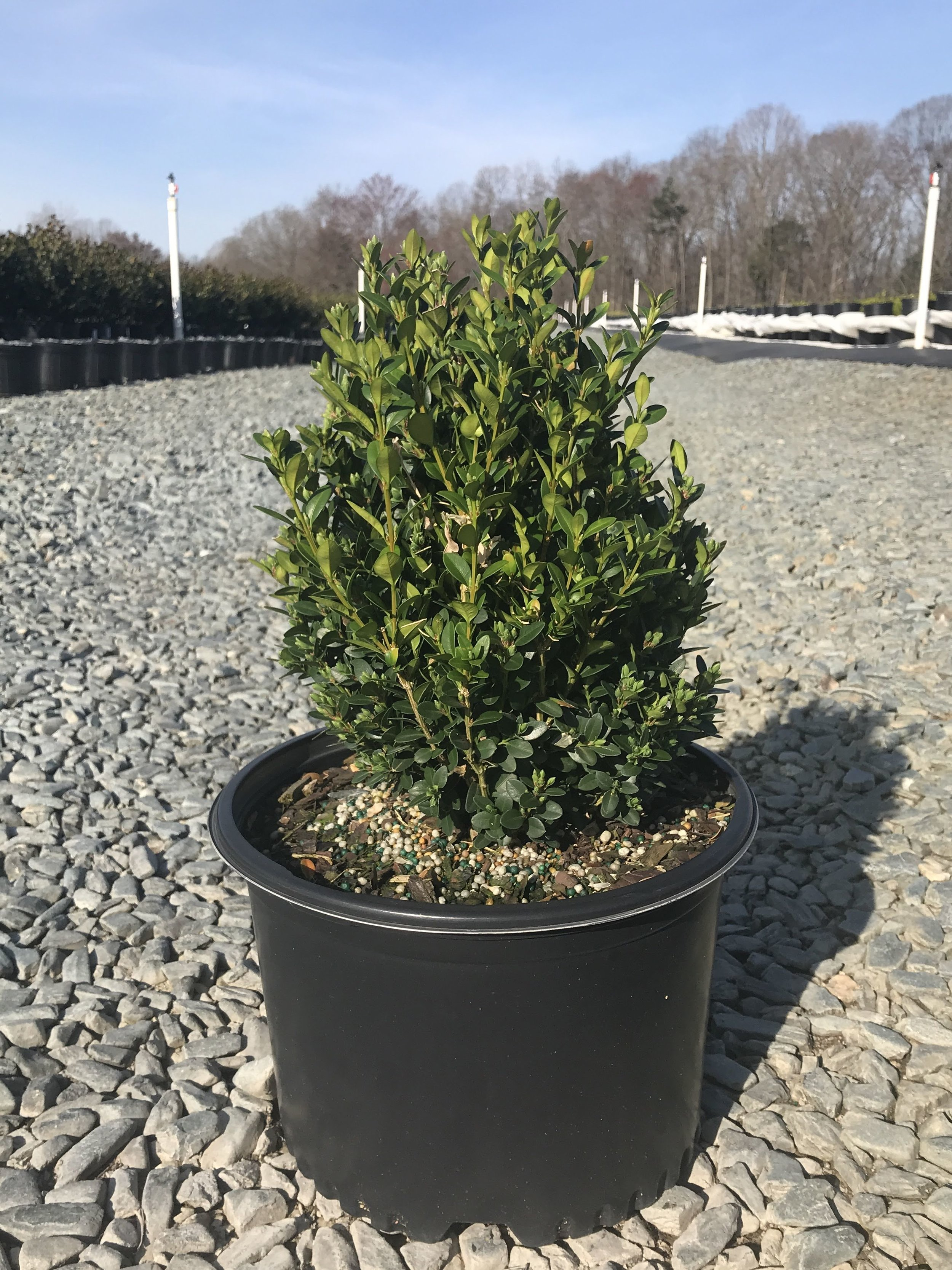 (overstock) Buxus x 'Green Mountain' - 3 gallon