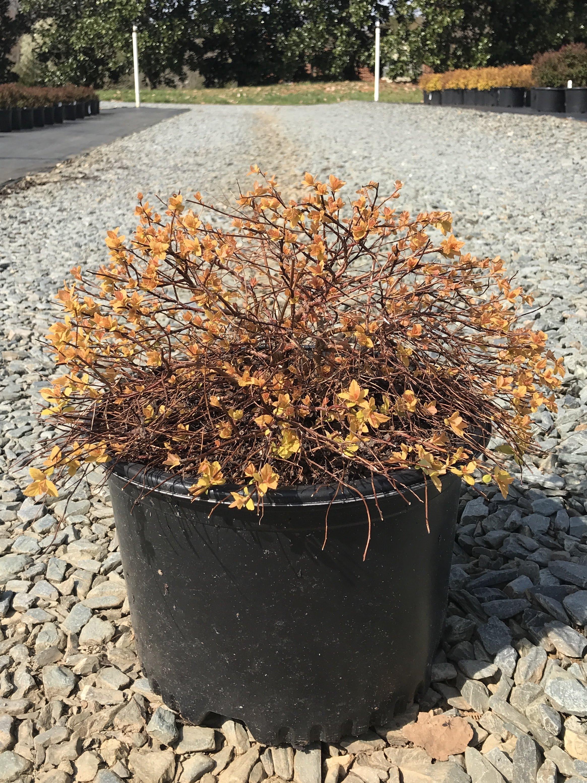 (overstock) Spiraea japonica 'Gold Mound' - 3 gallon