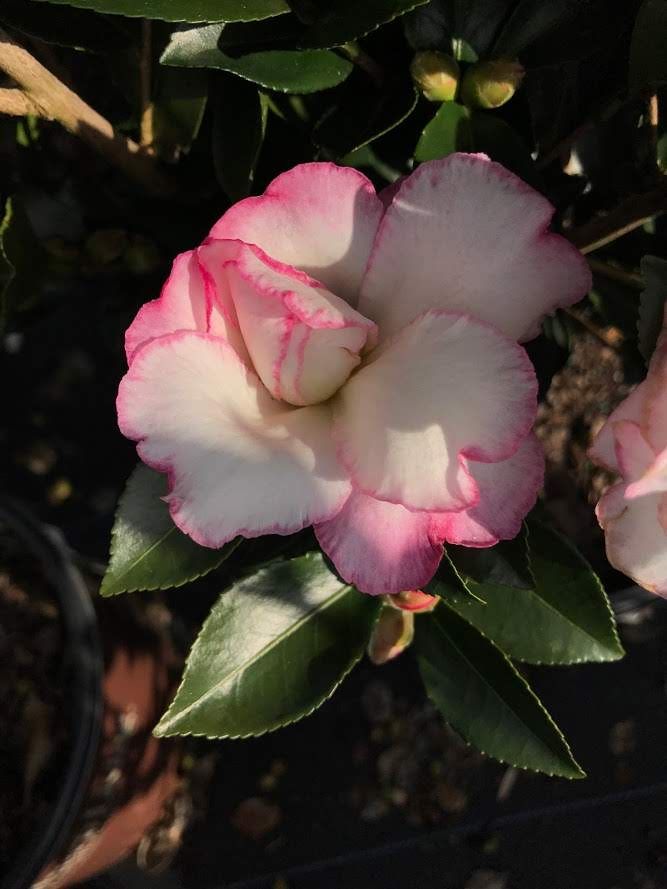 Camellia sasanqua 'OM Inspiration' PP# 20,566 - 3 gallon