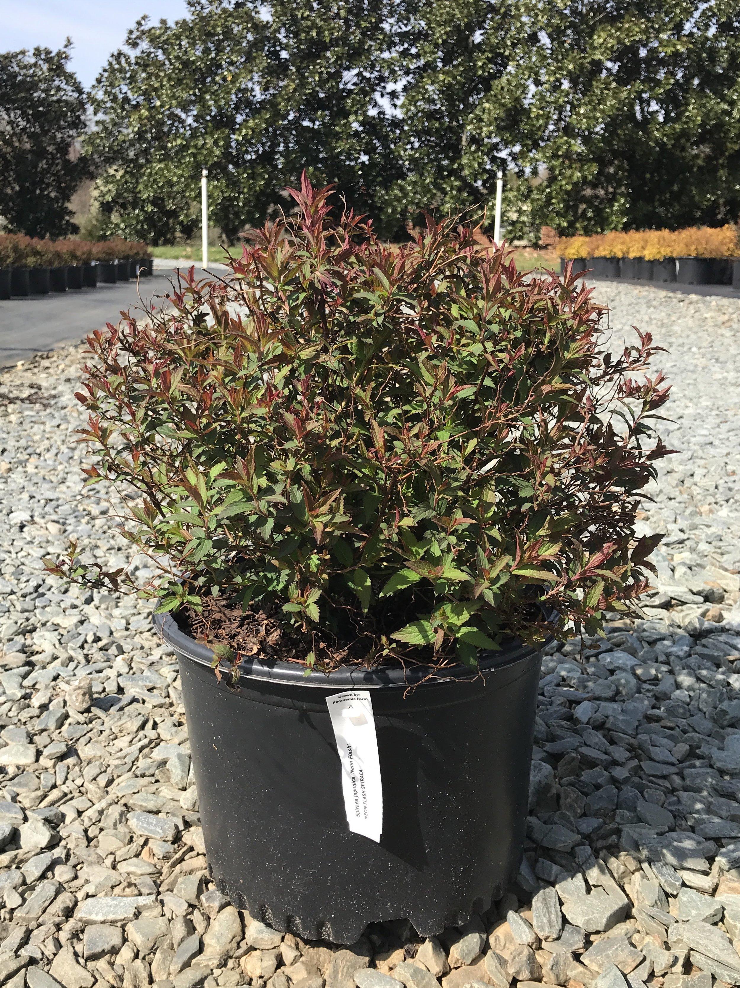 (overstock) Spiraea japonica 'Neon Flash' - 3 gallon