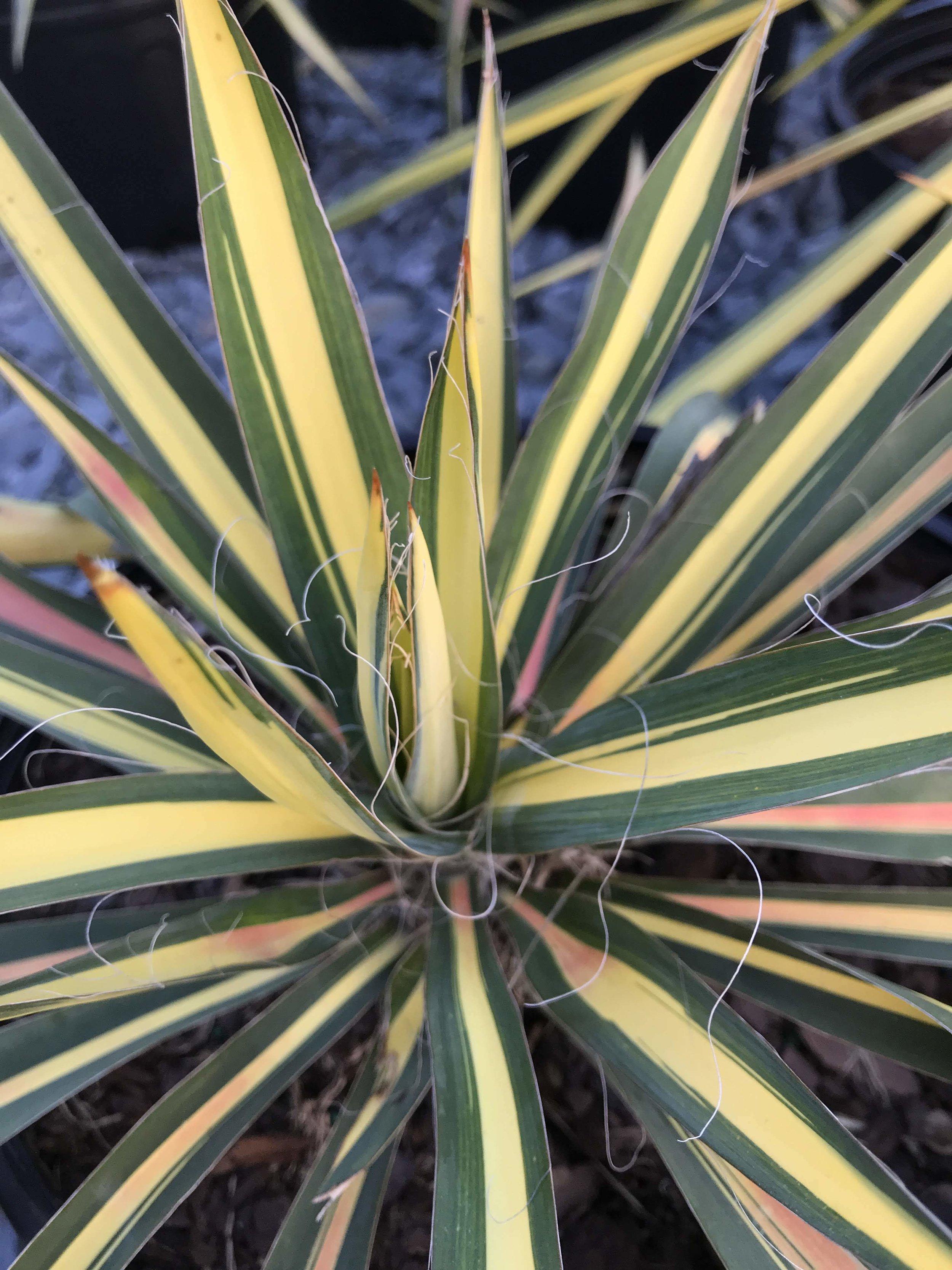 Yucca filamentosa 'Color Guard' 2 gallon