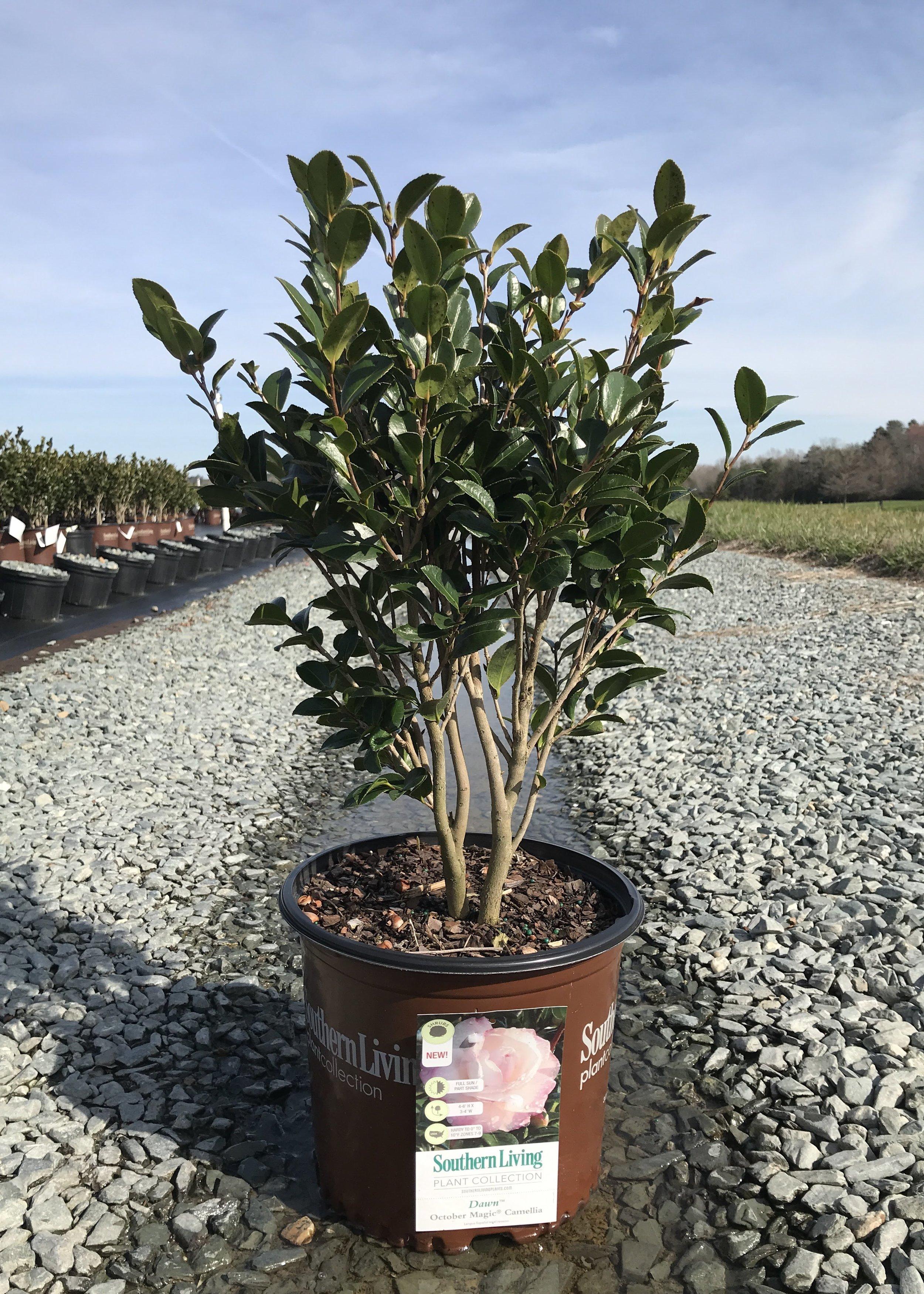 Camellia sasanqua 'OM Dawn' 3 gallon