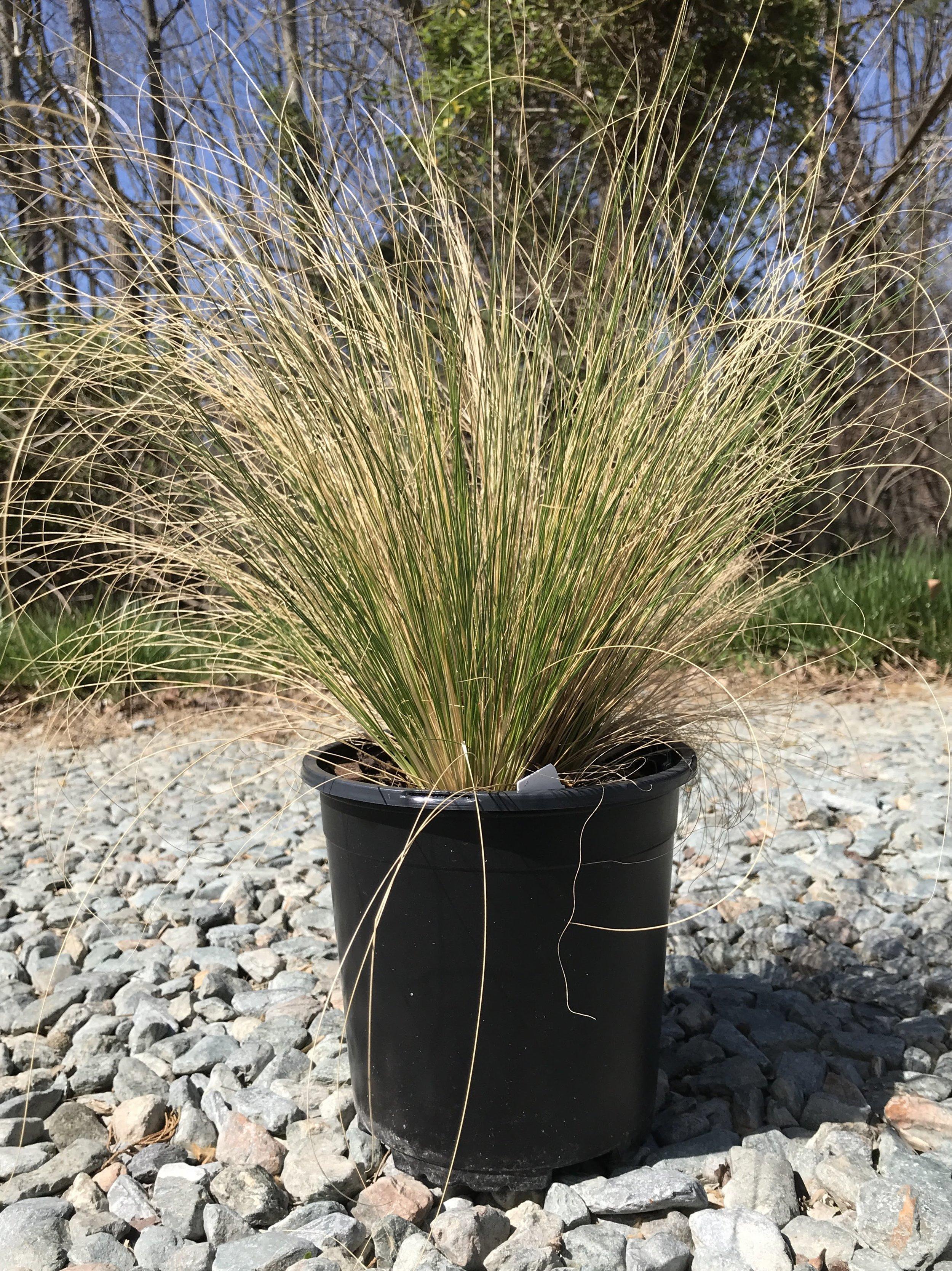 Nassella tenuissima 1 gallon