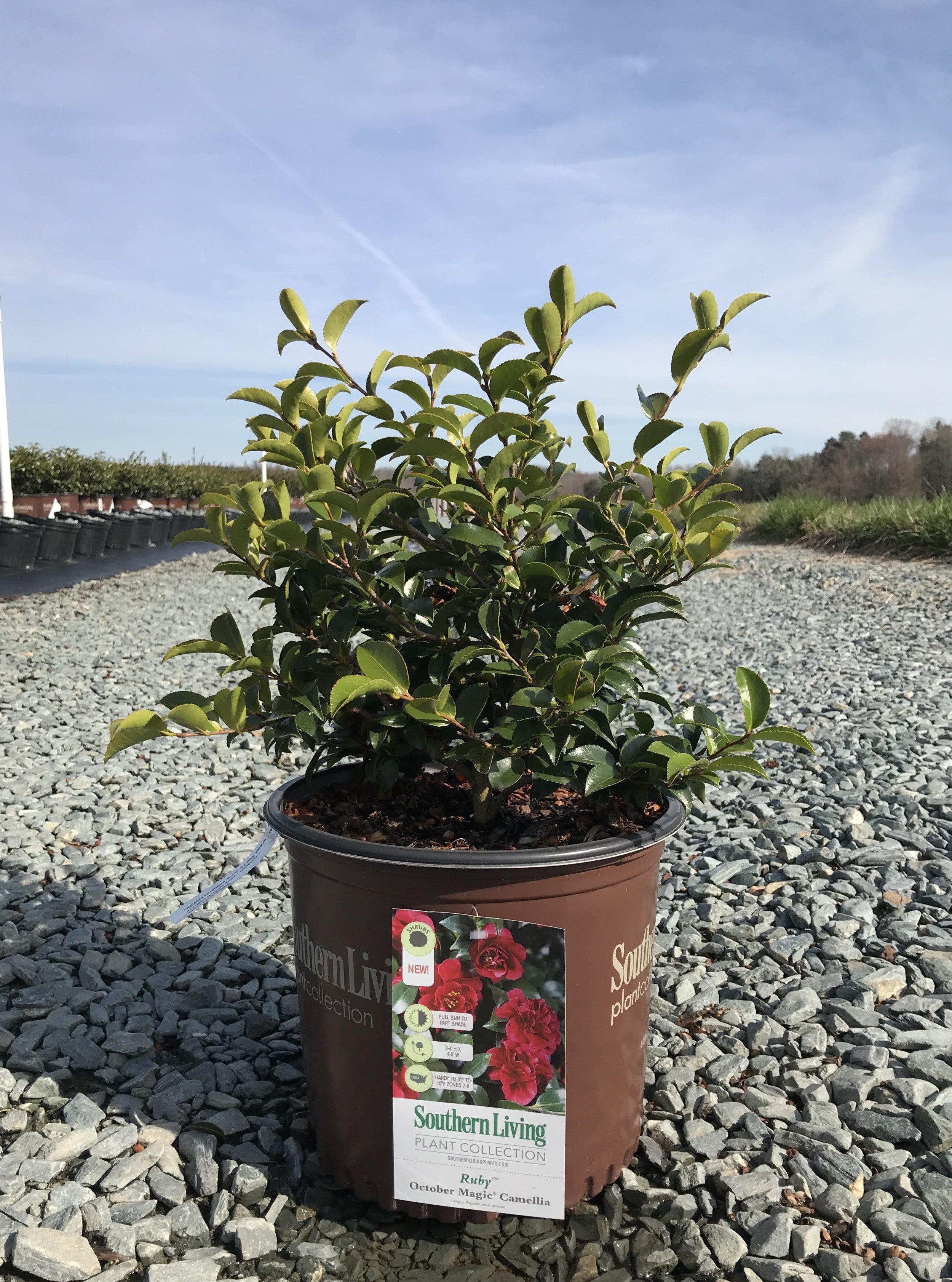 Camellia sasanqua 'OM Ruby' 3 gallon