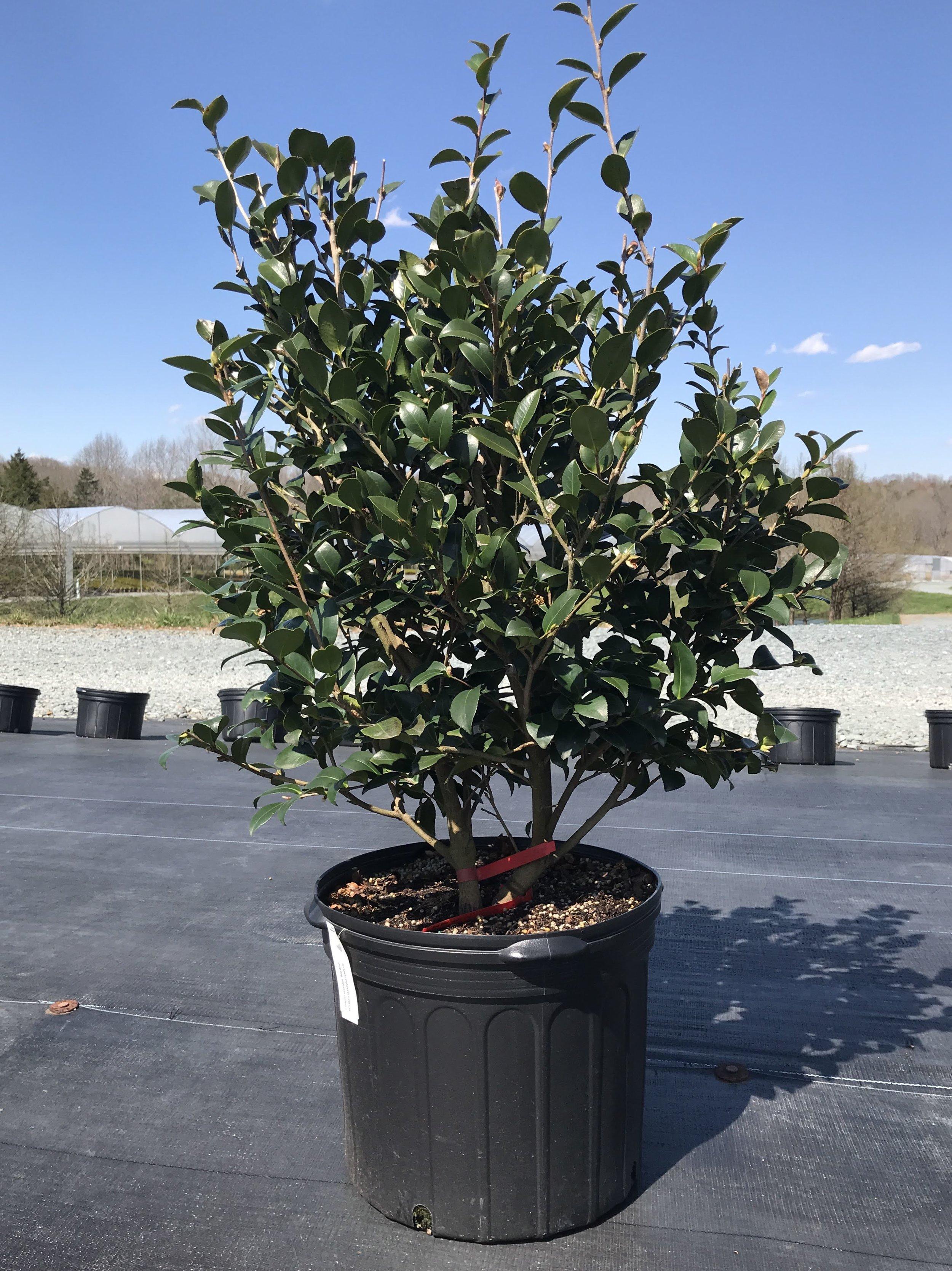 Camellia sasanqua 'Red Bird' 7 gallon