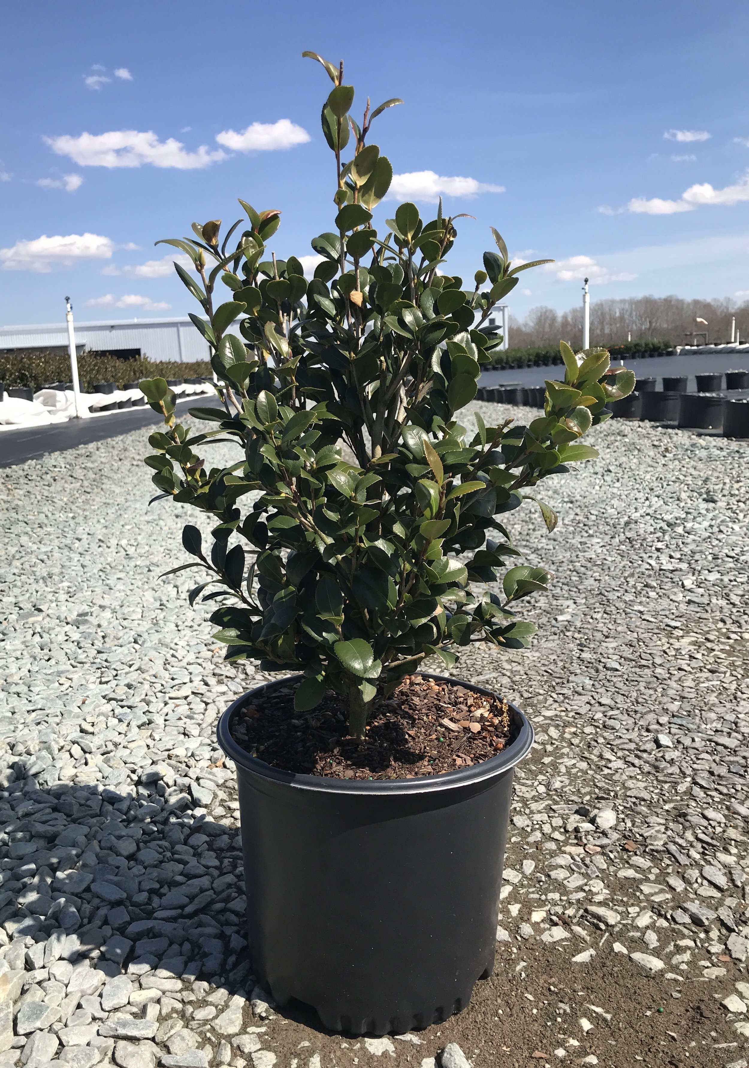 Camellia sasanqua 'Yuletide' 3 gallon