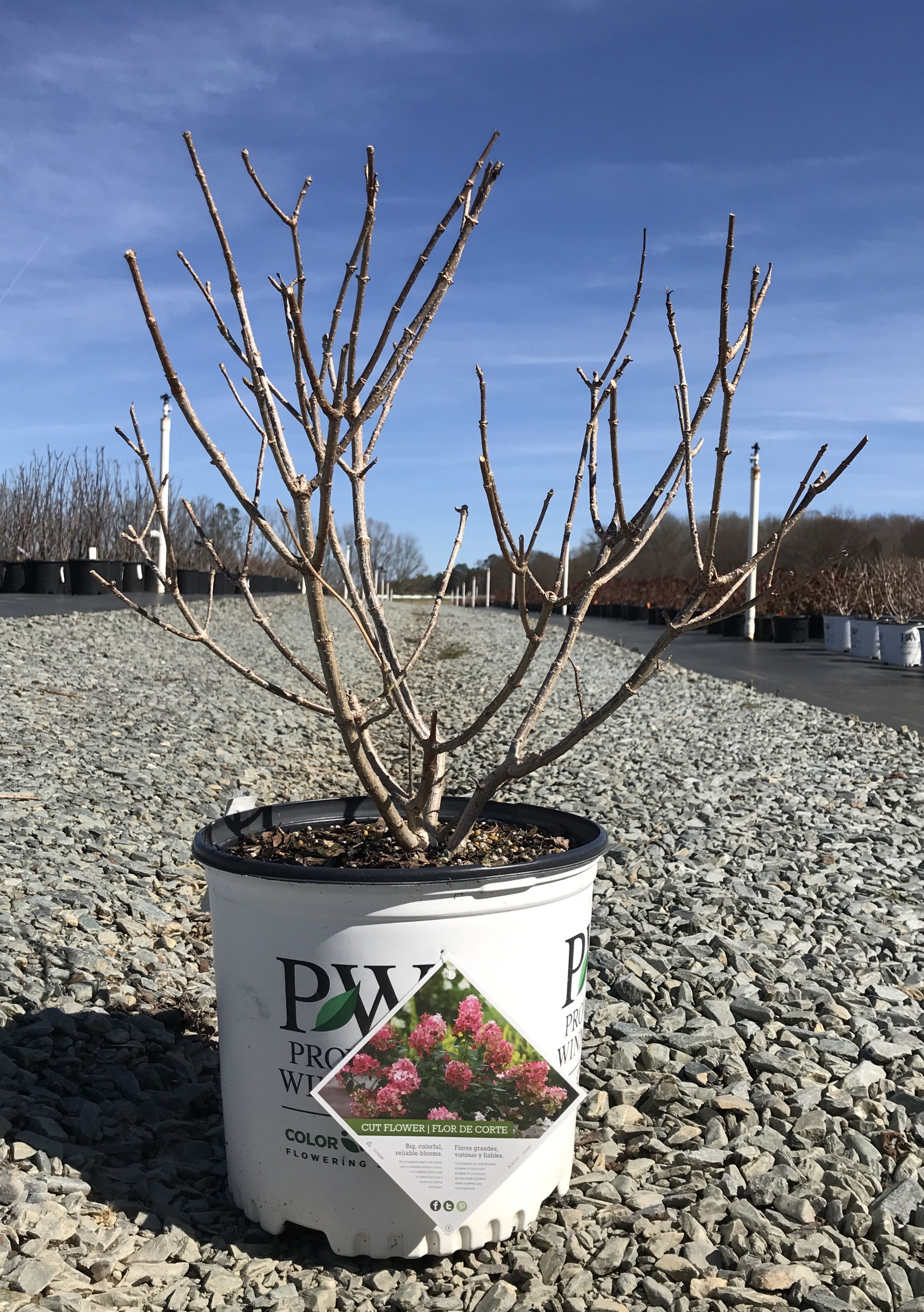 Hydrangea paniculata 'Fire Light' 3 gallon
