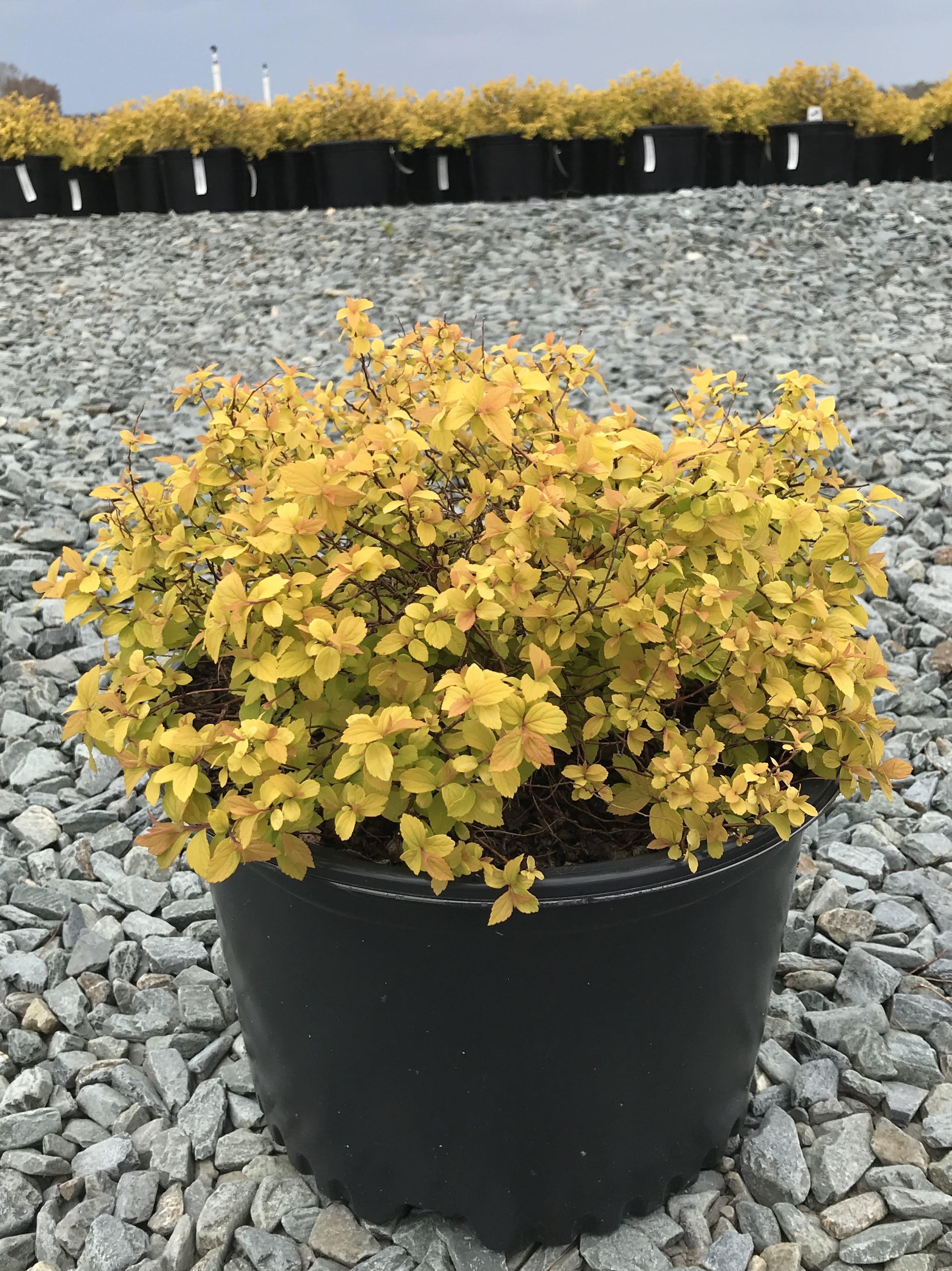 Spiraea japonica 'Gold Mound' (overstock) 3 gallon