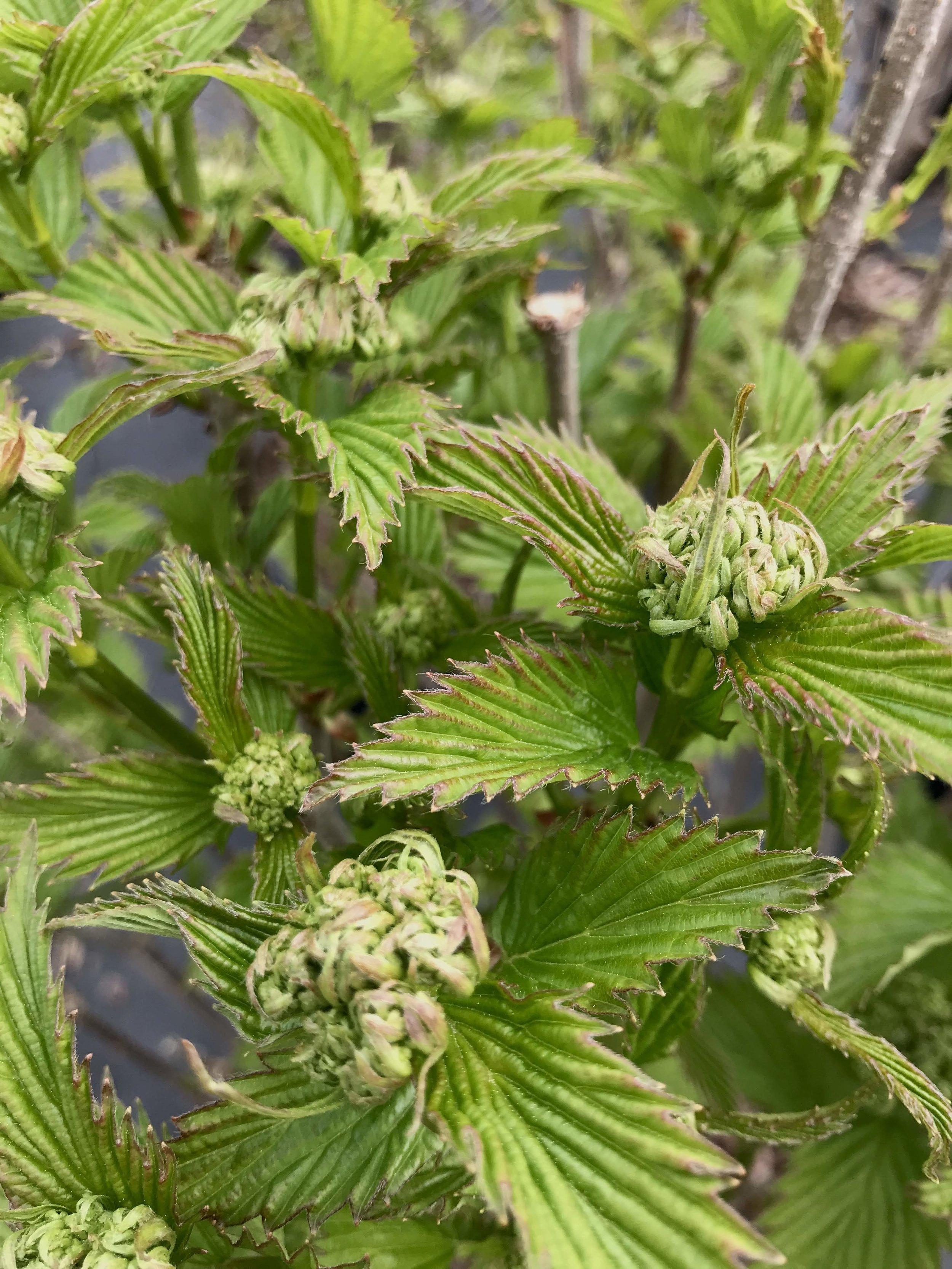 Viburnum dentatum, Arrowwood Viburnum (overstock) 3 gallon