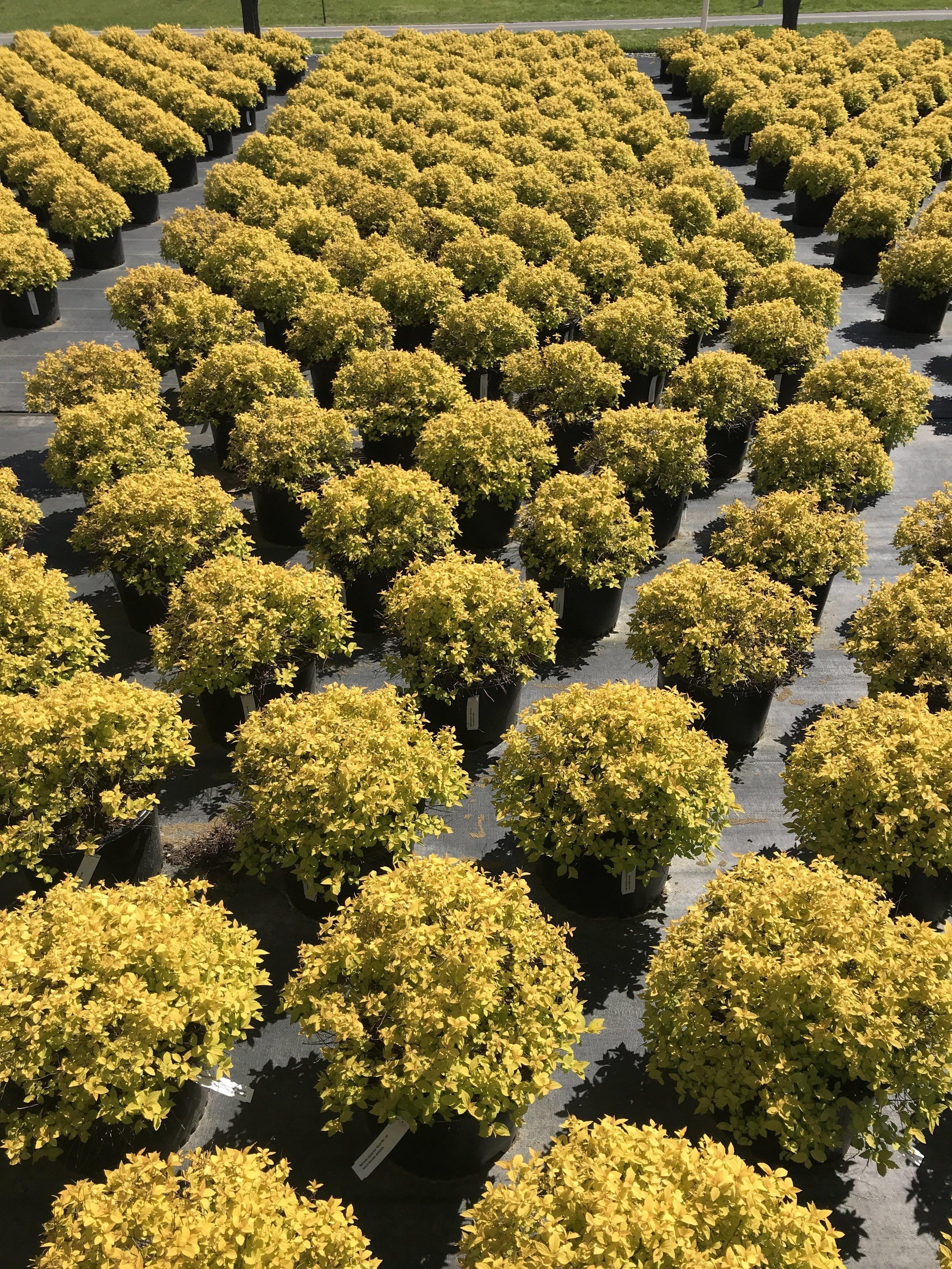 Spiraea japonica 'Gold Mound' 3 gallon