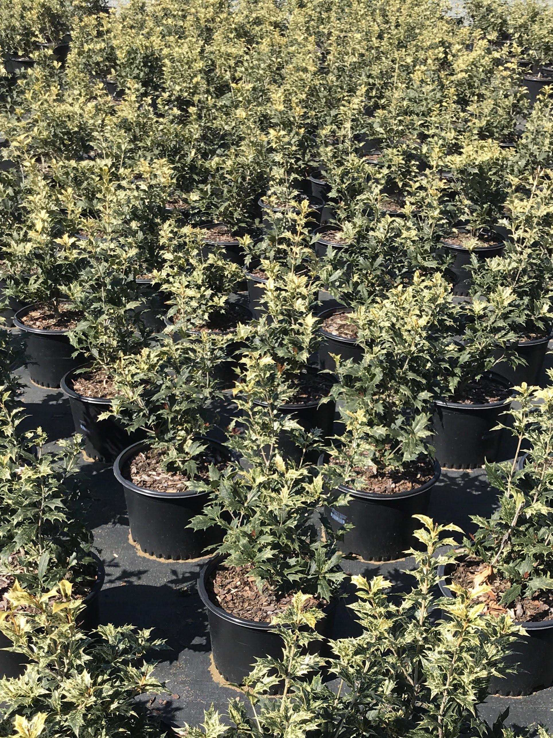 Osmanthus heterophyllus 'Goshiki' 3 gallon