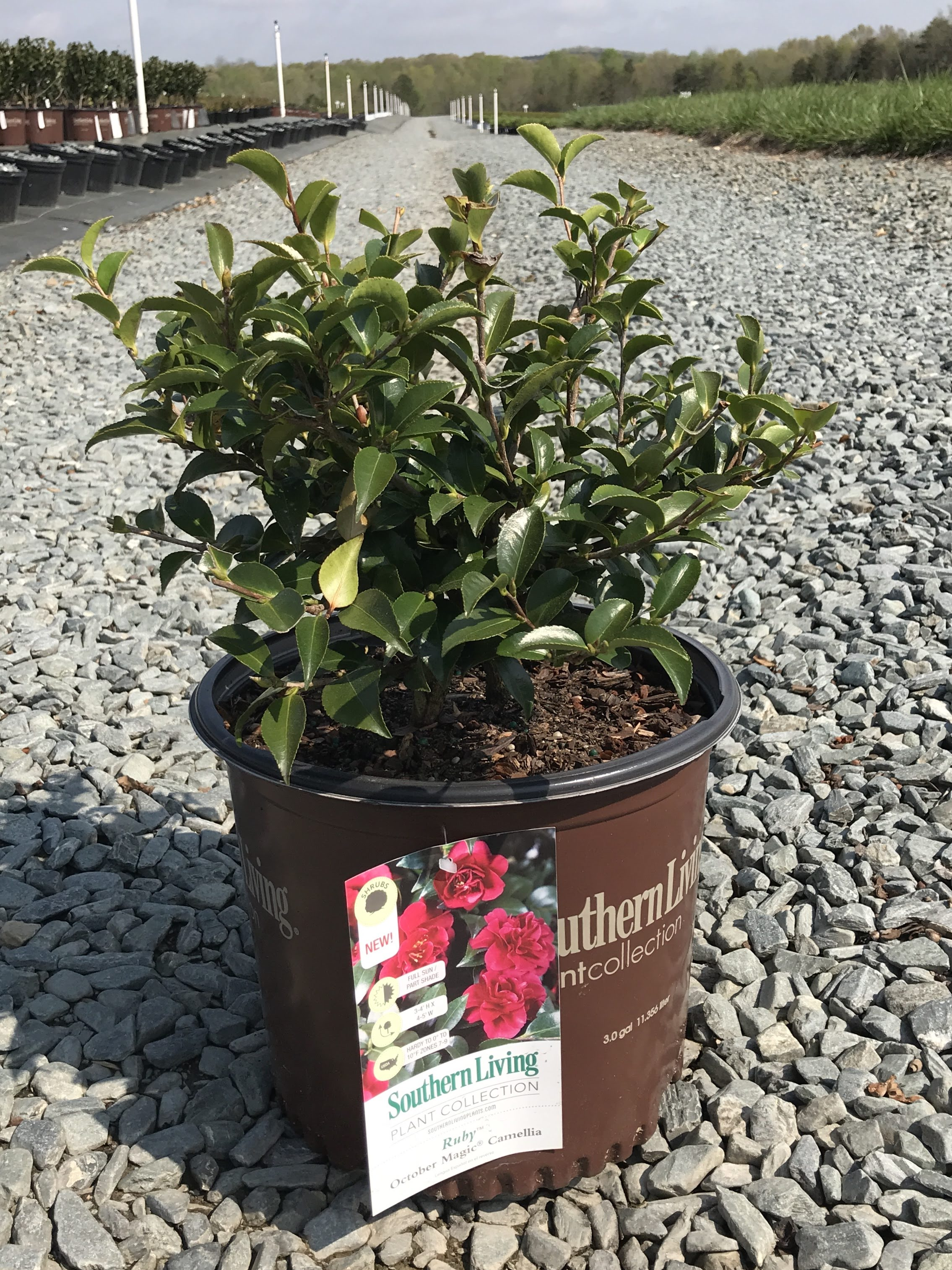 October Magic(R) Ruby(TM) Camellia 3 gallon