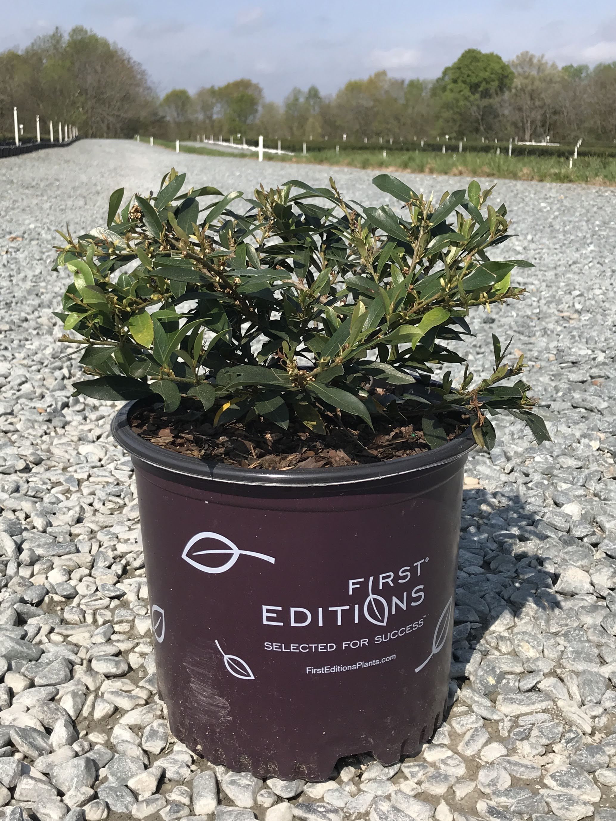 First Editions(R) Vintage Jade Distylium 3 gallon