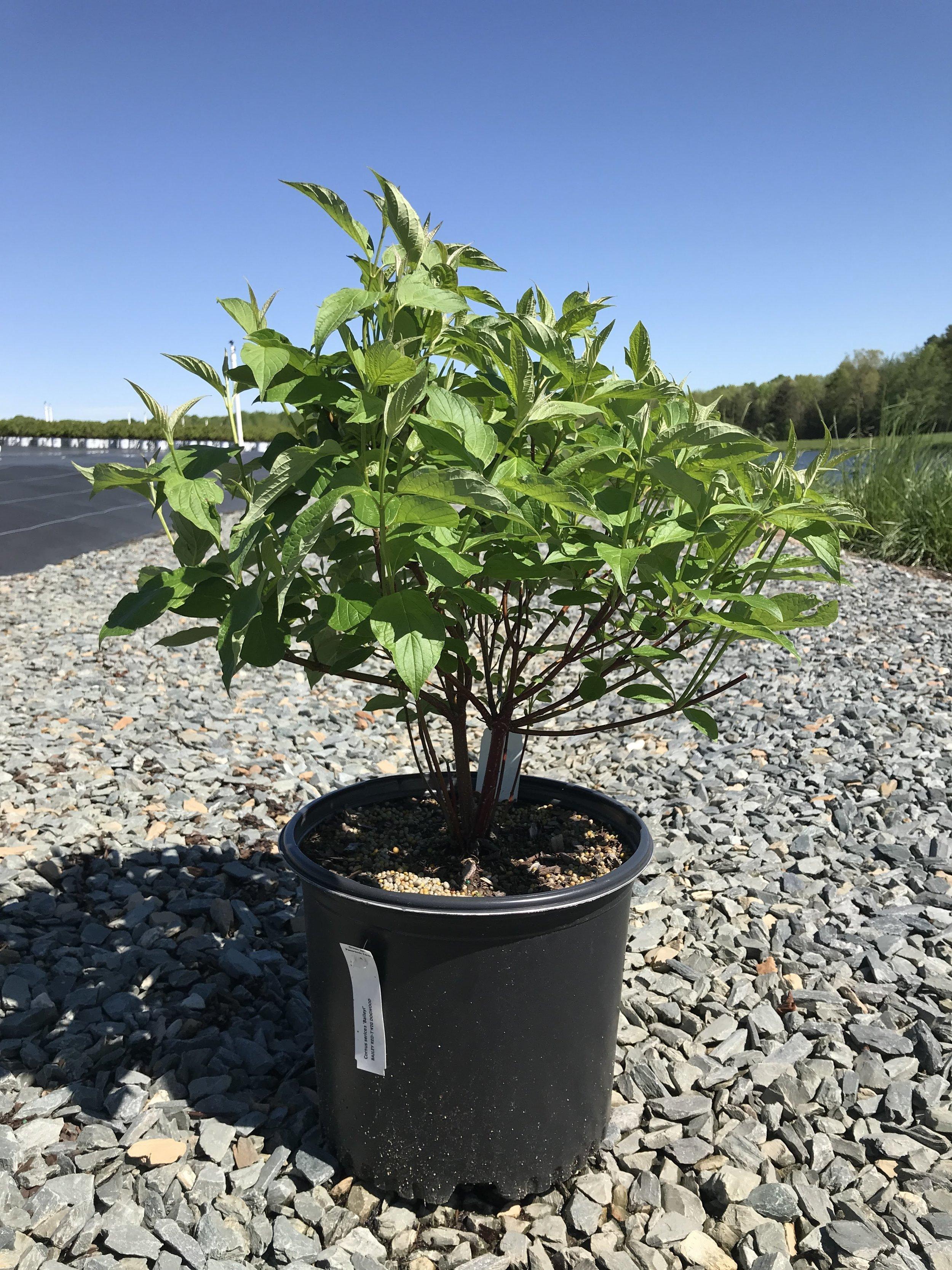 Cornus sericea 'Baileyi' 3 gallon