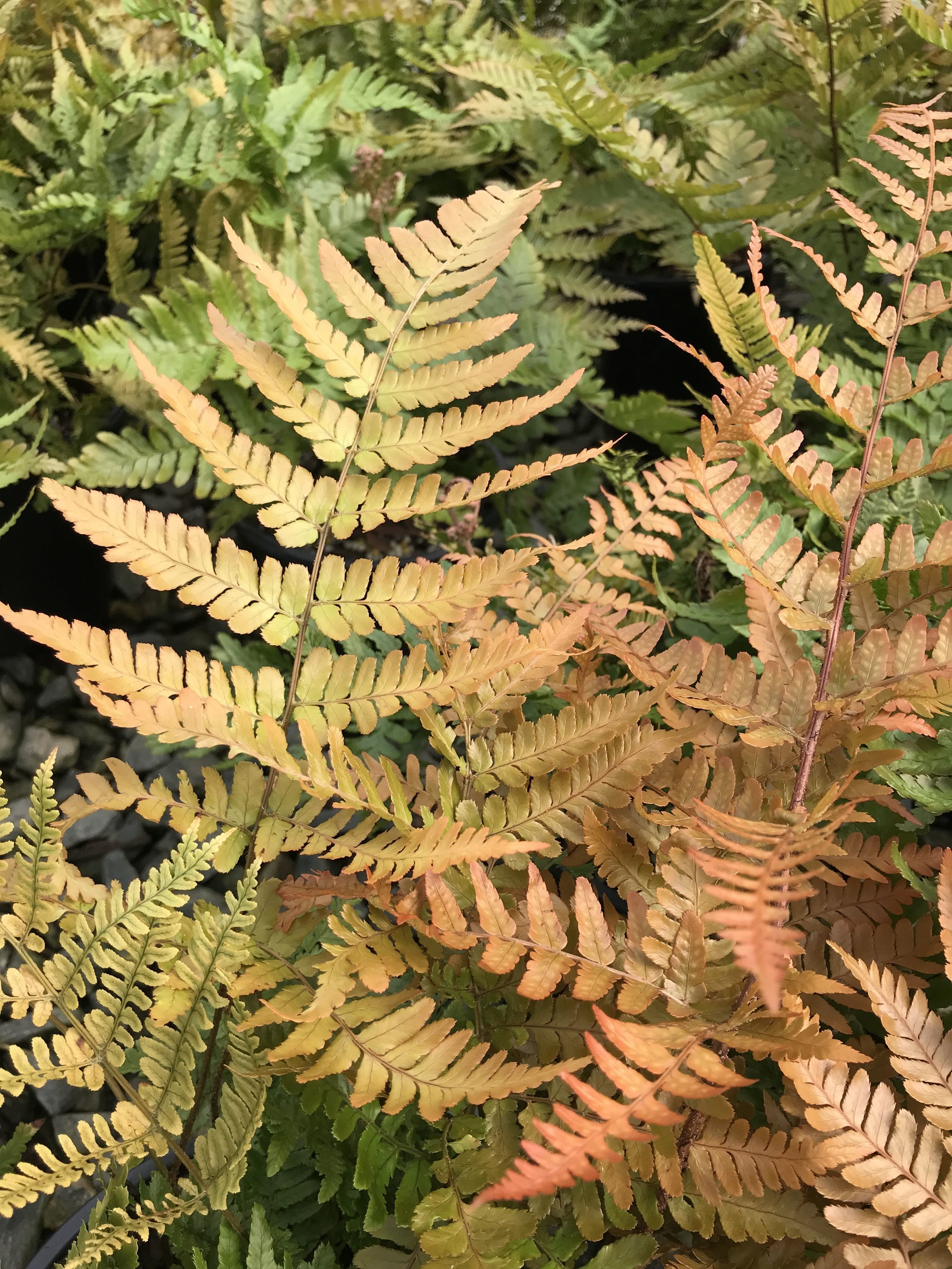 Dryopteris erythrosora 'Brilliance', Brilliance Autumn Fern 1 gallon