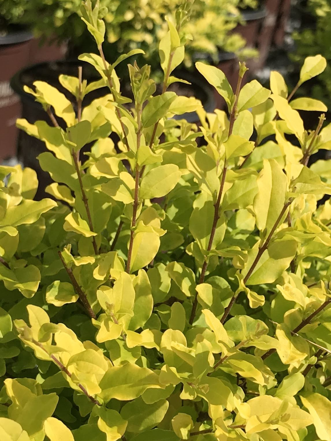 Ligustrum sinense 'Sunshine', Southern Living Sunshine Ligustrum 3 gallon