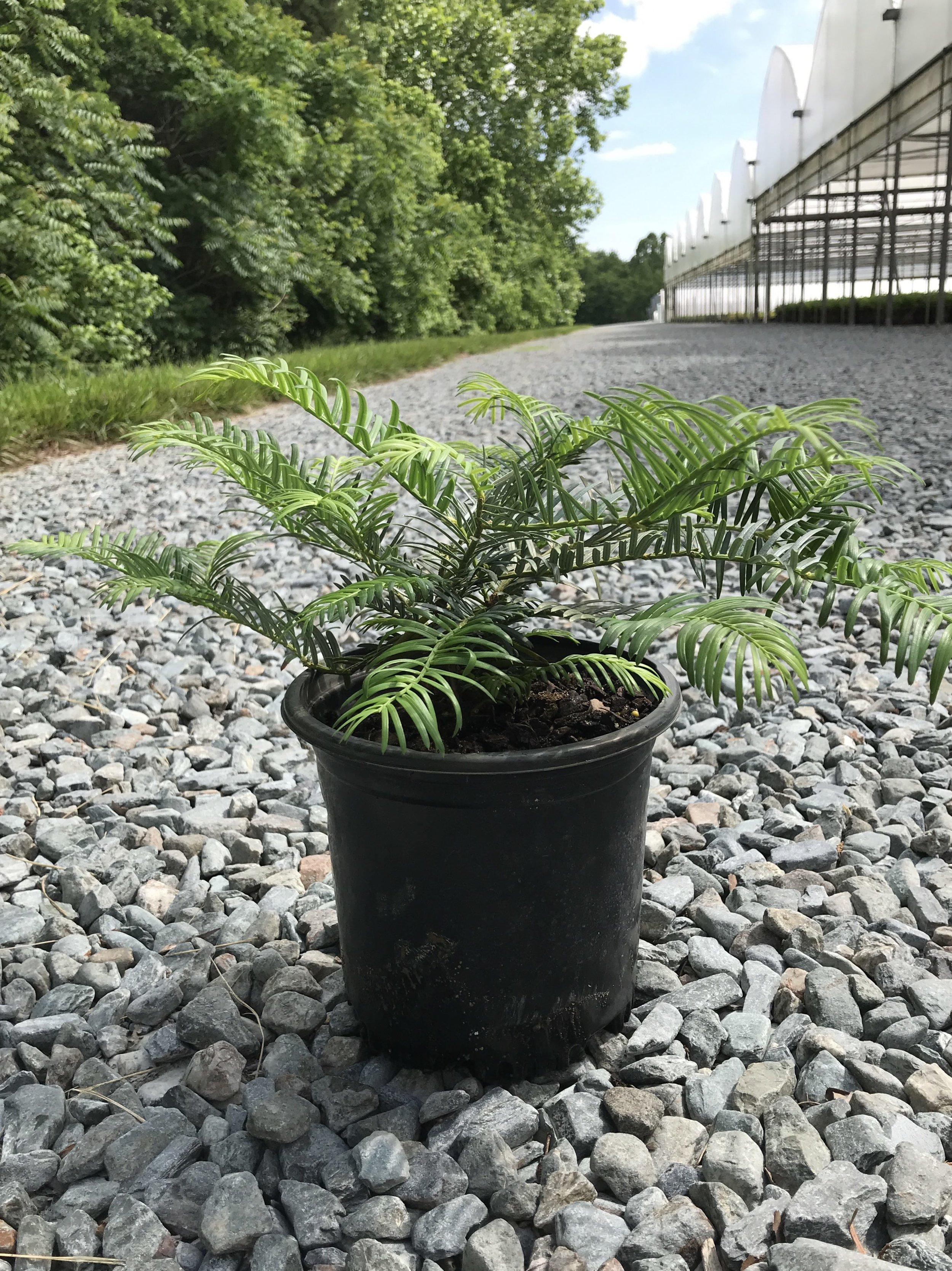 Cephalotaxus harringtonia 'Prostrata' 1 gallon