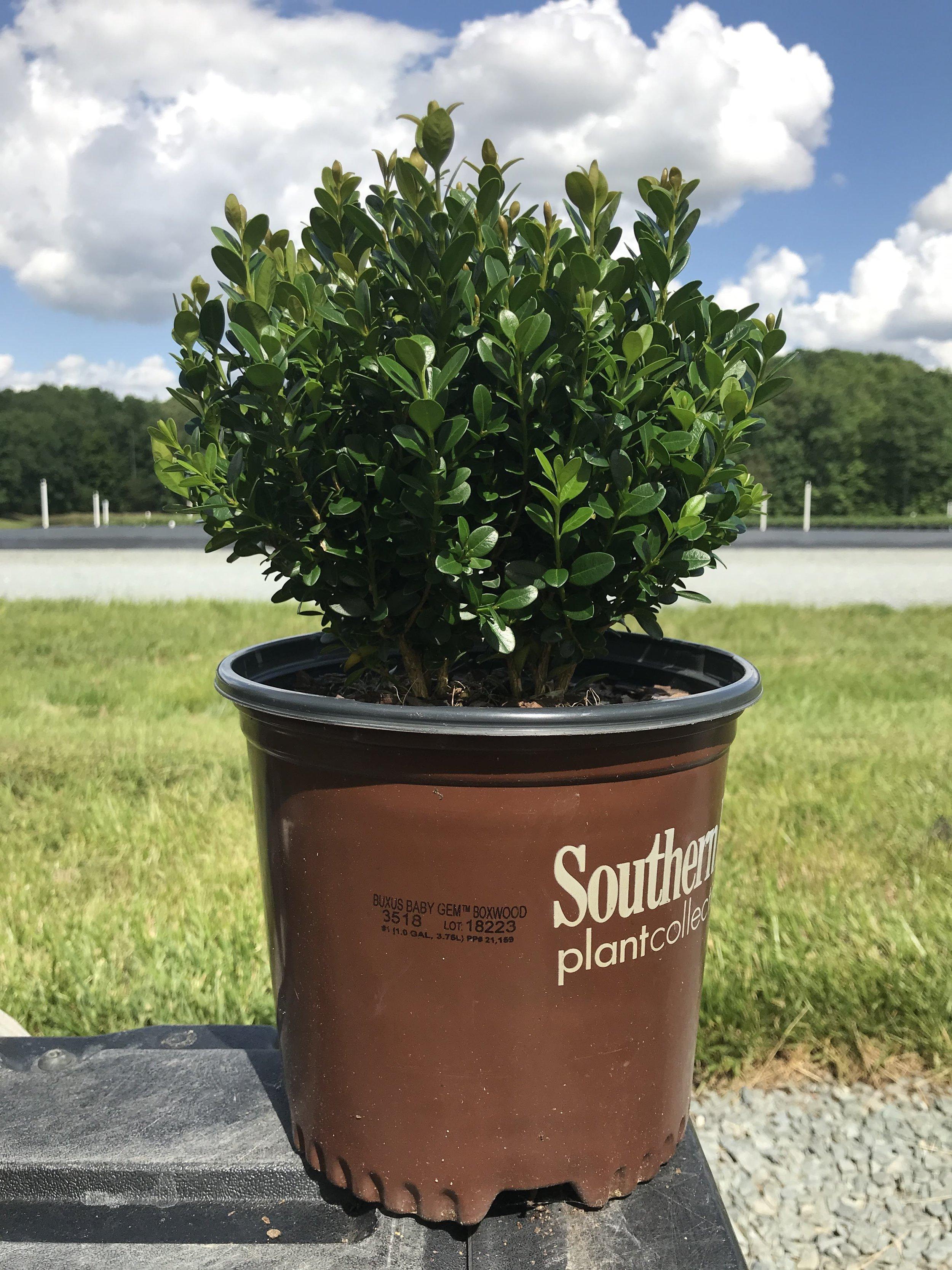 Buxus microphylla 'Baby Gem' 1 gallon