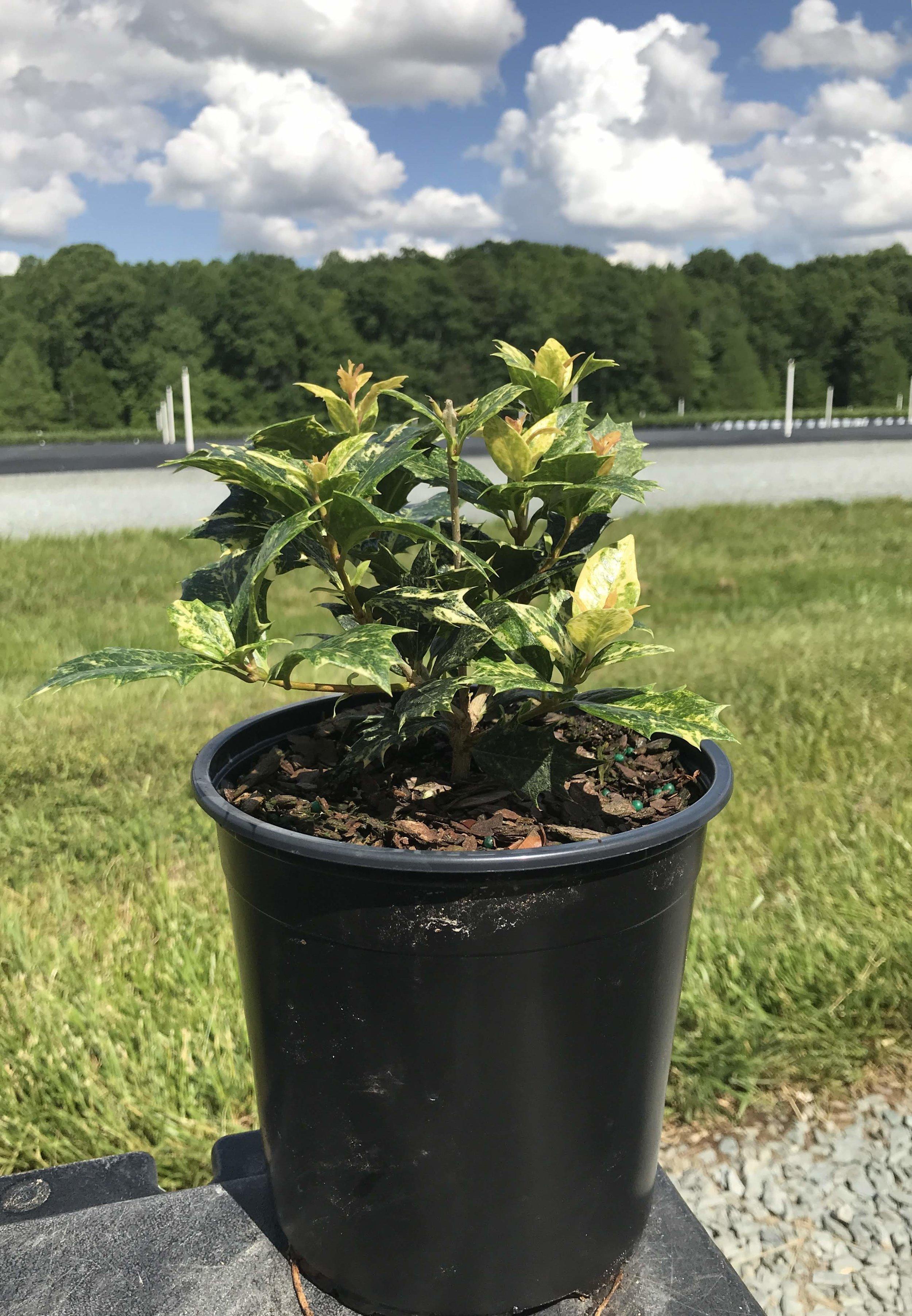 Osmanthus heterophyllus 'Goshiki' 1 gallon