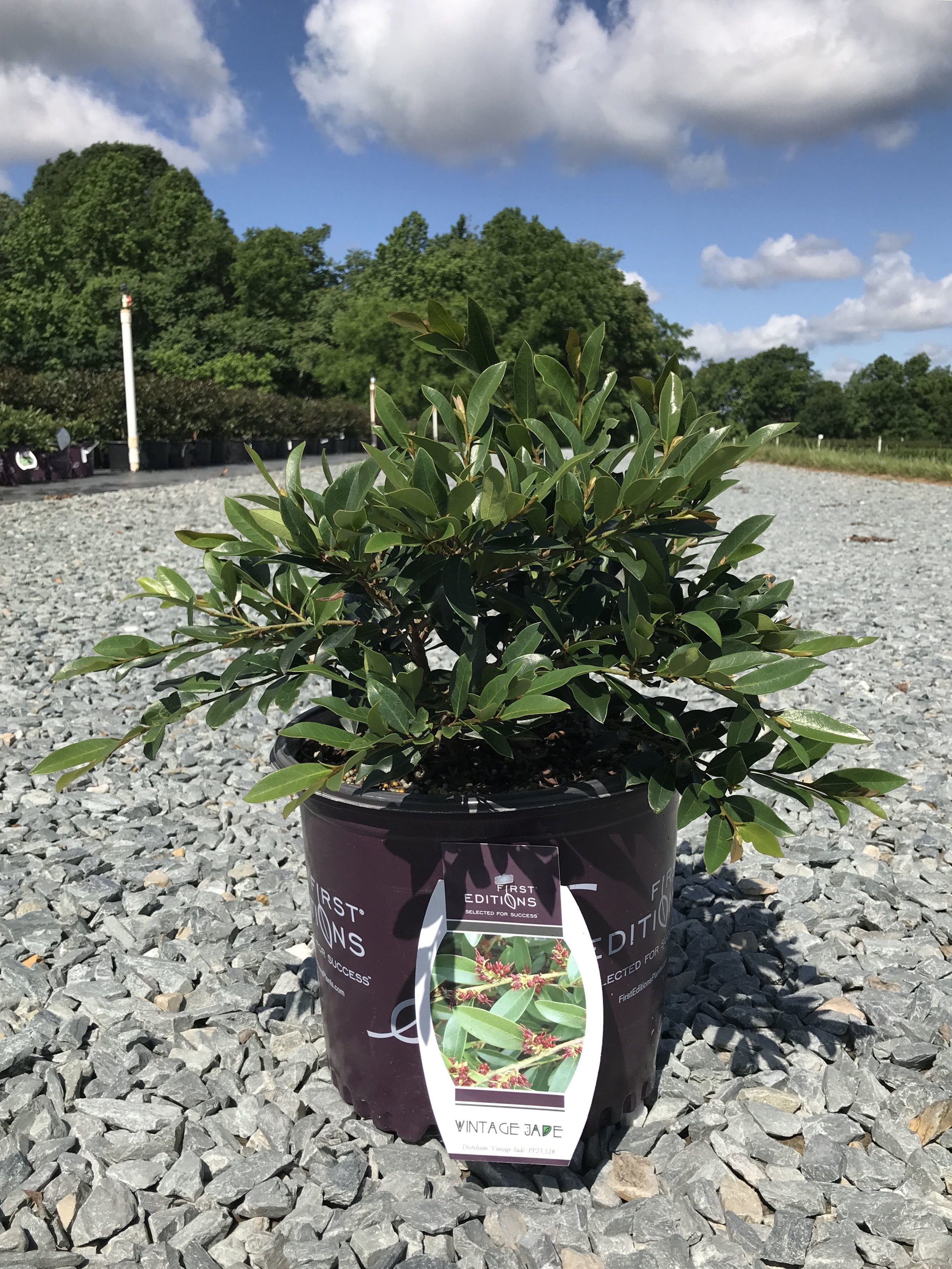 Distylium myricoides 'Vintage Jade' 3 gallon