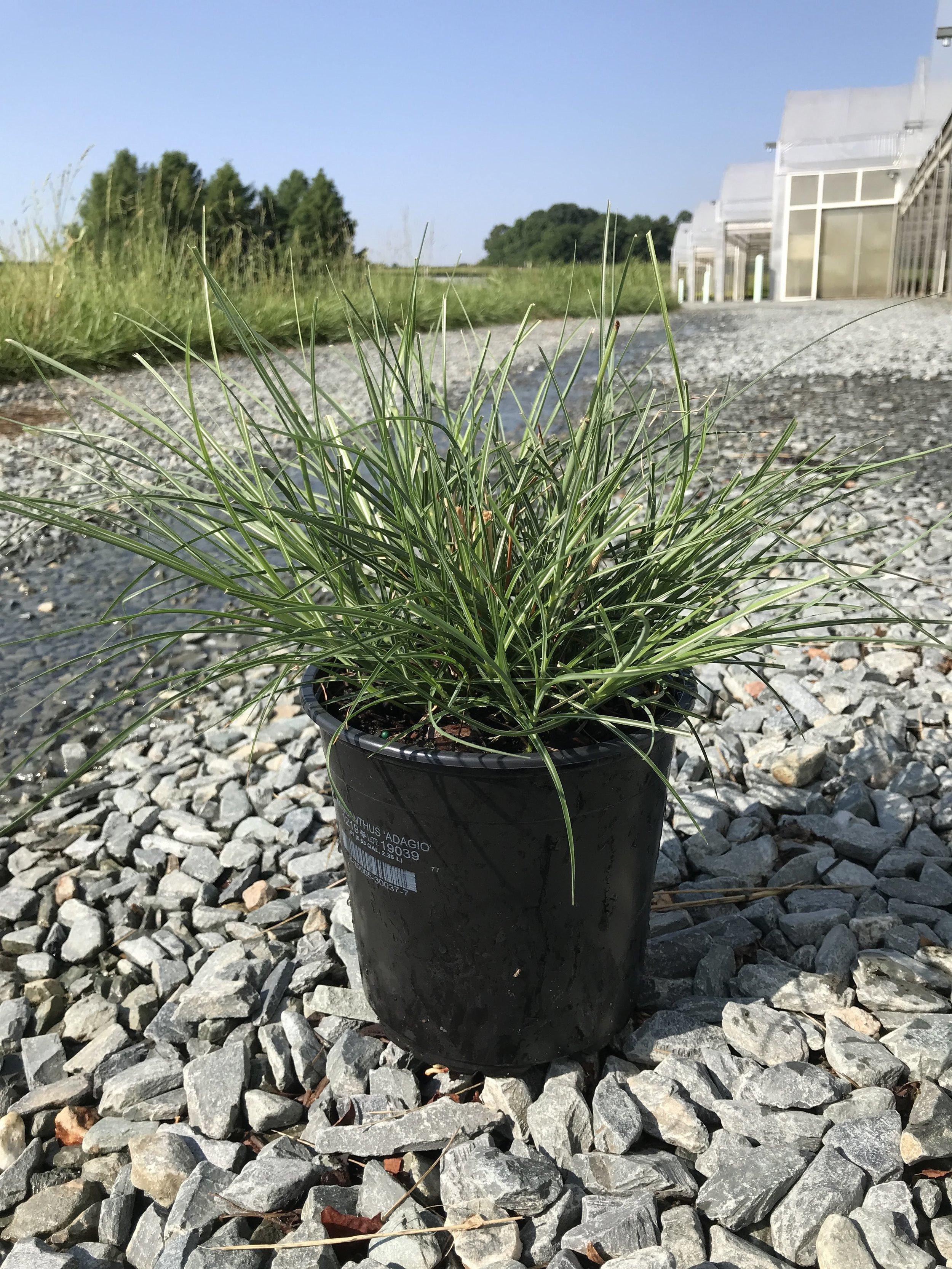 Miscanthus sinensis 'Adagio' 1 gallon