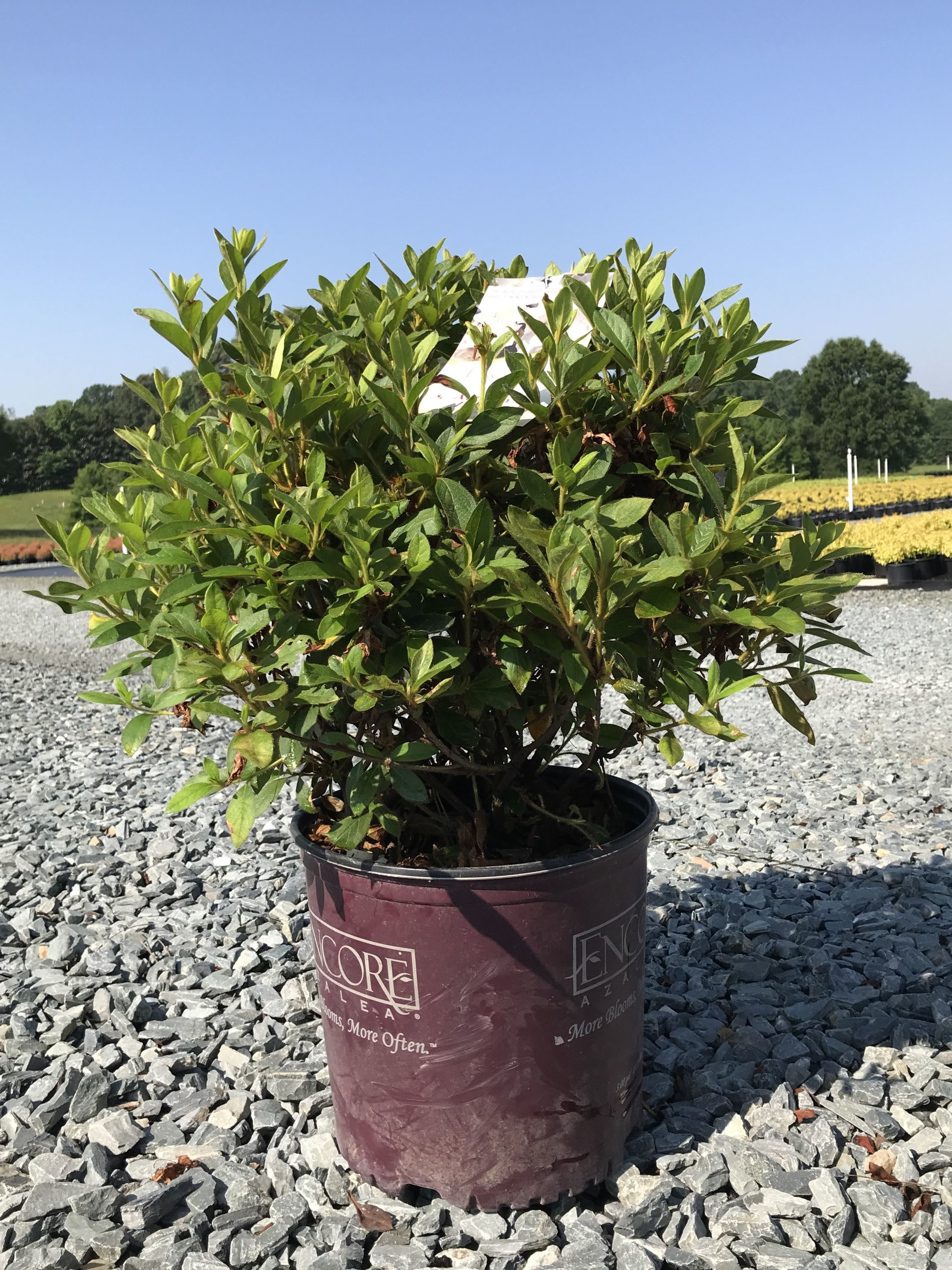 Azalea 'Autumn Lily' 3 gallon