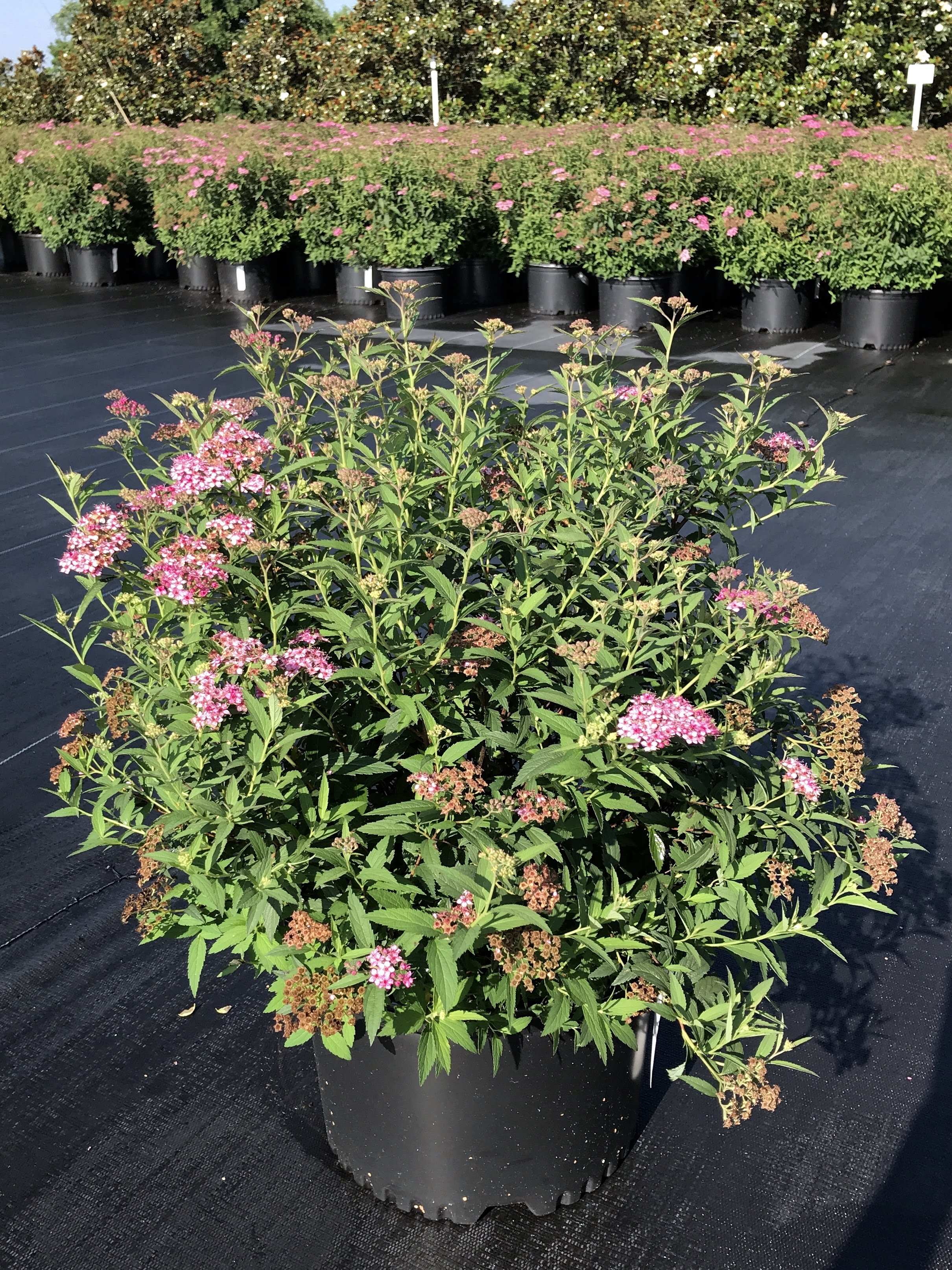 Spiraea japonica 'Neon Flash' 3 gallon