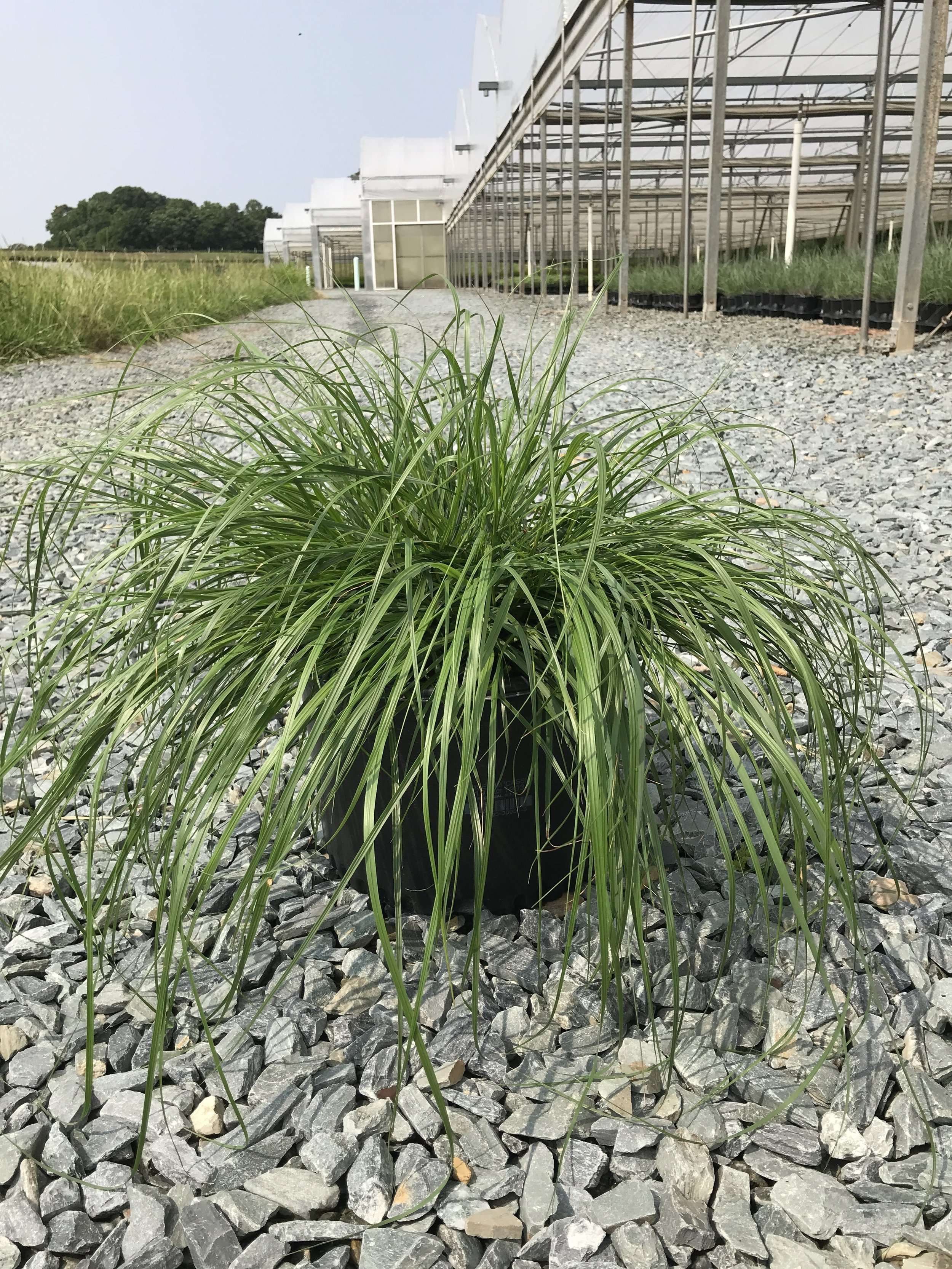 Pennisetum alopecuroides 'Cassian' 3 gallon